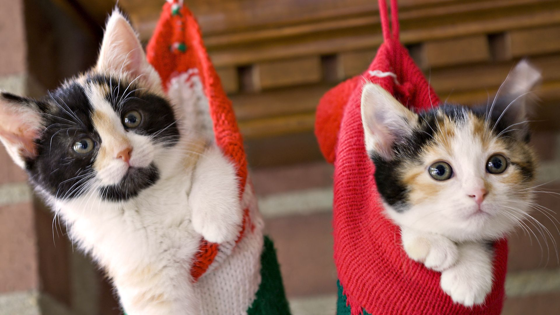 123585 Screensavers and Wallpapers Kittens for phone. Download Animals, Couple, Pair, Spotted, Christmas, Holiday, Kittens, Hang, Sock pictures for free