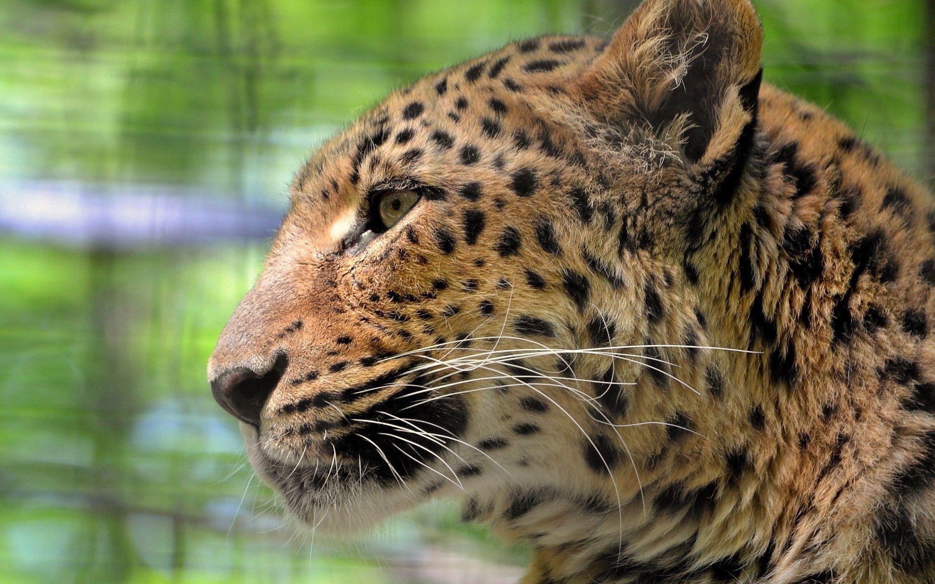 59392 скачать обои Животные, Леопард, Морда, Окрас, Профиль, Хищник - заставки и картинки бесплатно