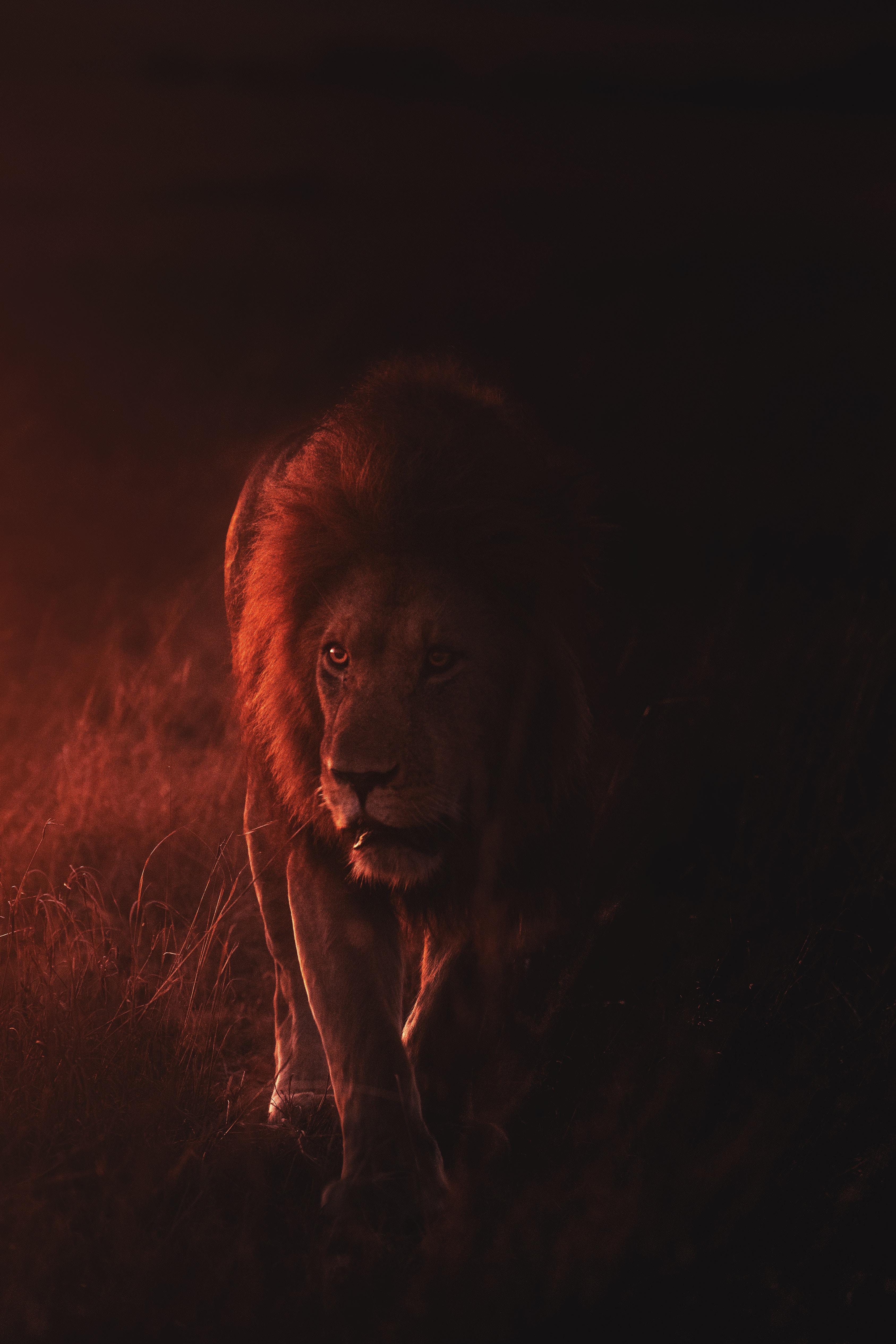 64813 baixar papel de parede Animais, Leão, Um Leão, Predator, Predador, Gato Grande, Animais Selvagens, Vida Selvagem, Rei Das Feras, Rei Das Bestas - protetores de tela e imagens gratuitamente