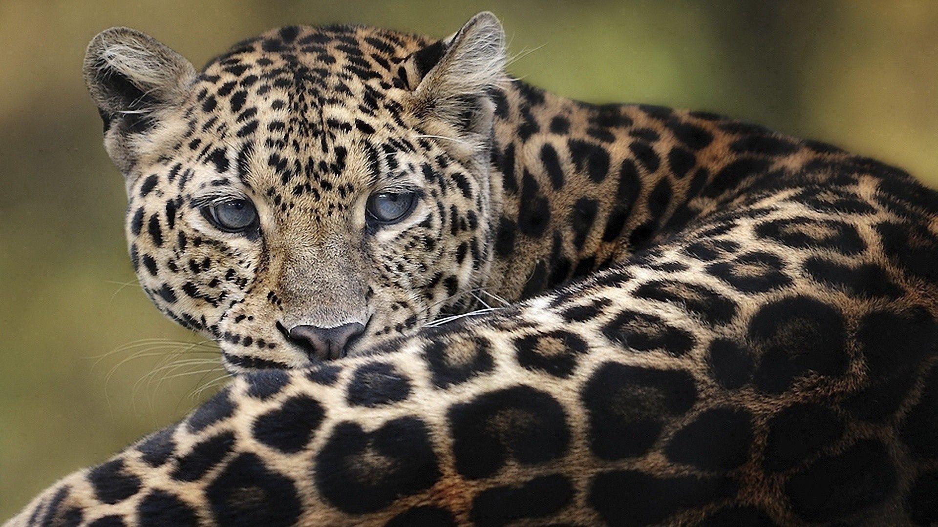 110583 download wallpaper Animals, Leopard, Big Cat, To Lie Down, Lie, Muzzle screensavers and pictures for free