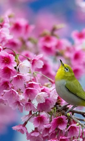 105951 download wallpaper Animals, Spring, Sakura, Branch, Beauty, Japanese White Eye, Flowers screensavers and pictures for free