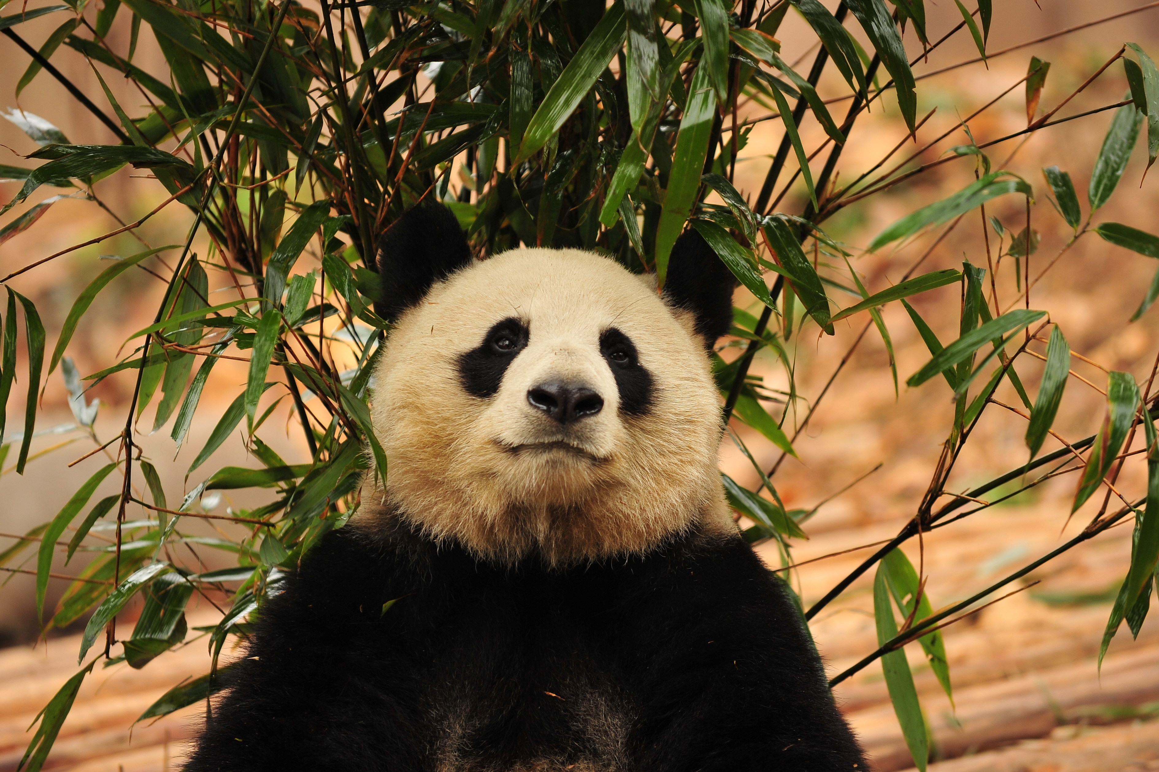 114941 download wallpaper Animals, Panda, Bamboo, Bear screensavers and pictures for free
