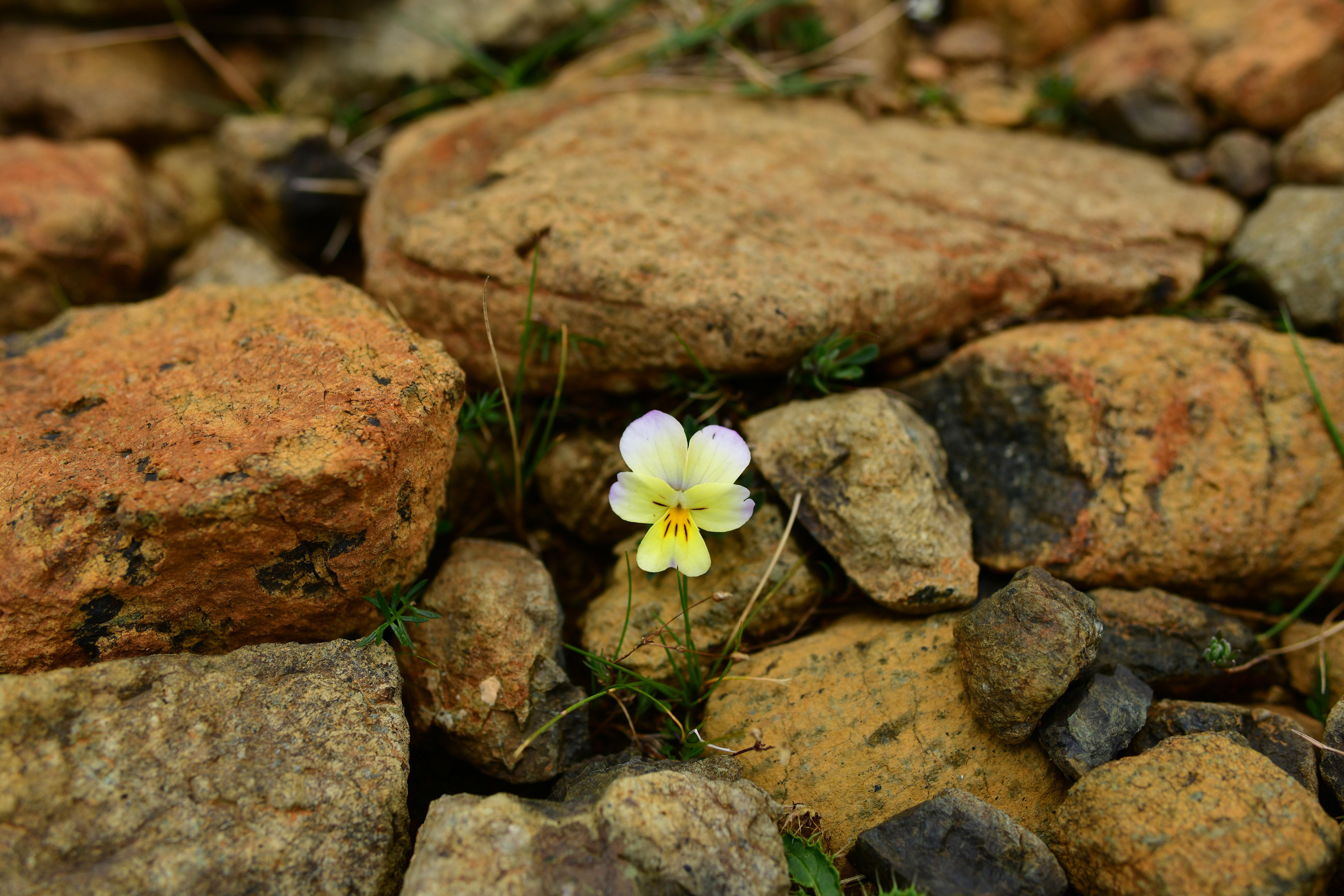 106044 скачать обои Цветение, Цветы, Камни, Цветок, Макро, Незабудка - заставки и картинки бесплатно