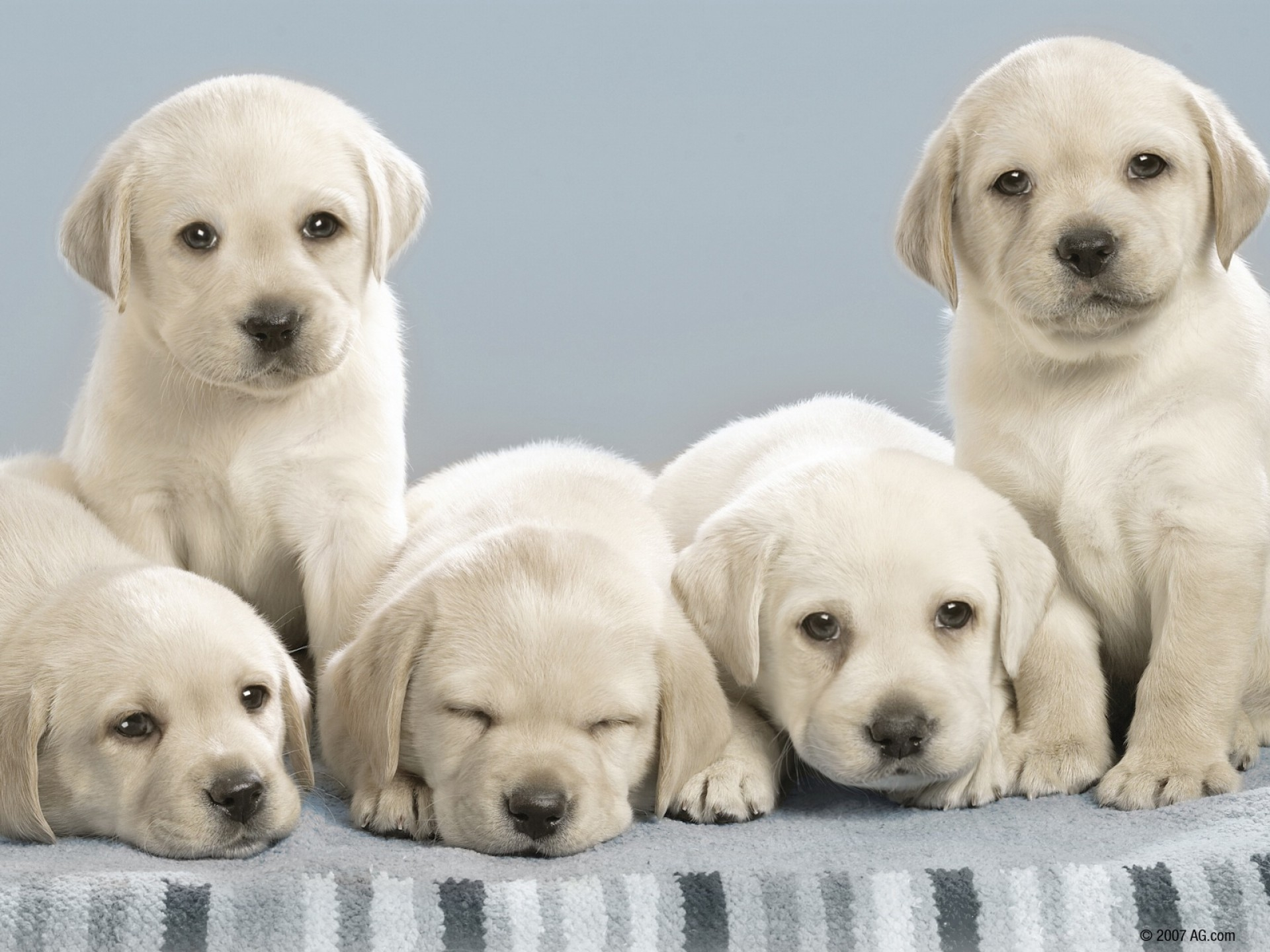 153949 download wallpaper Animals, Labradors, Puppies, Lot, Dogs screensavers and pictures for free