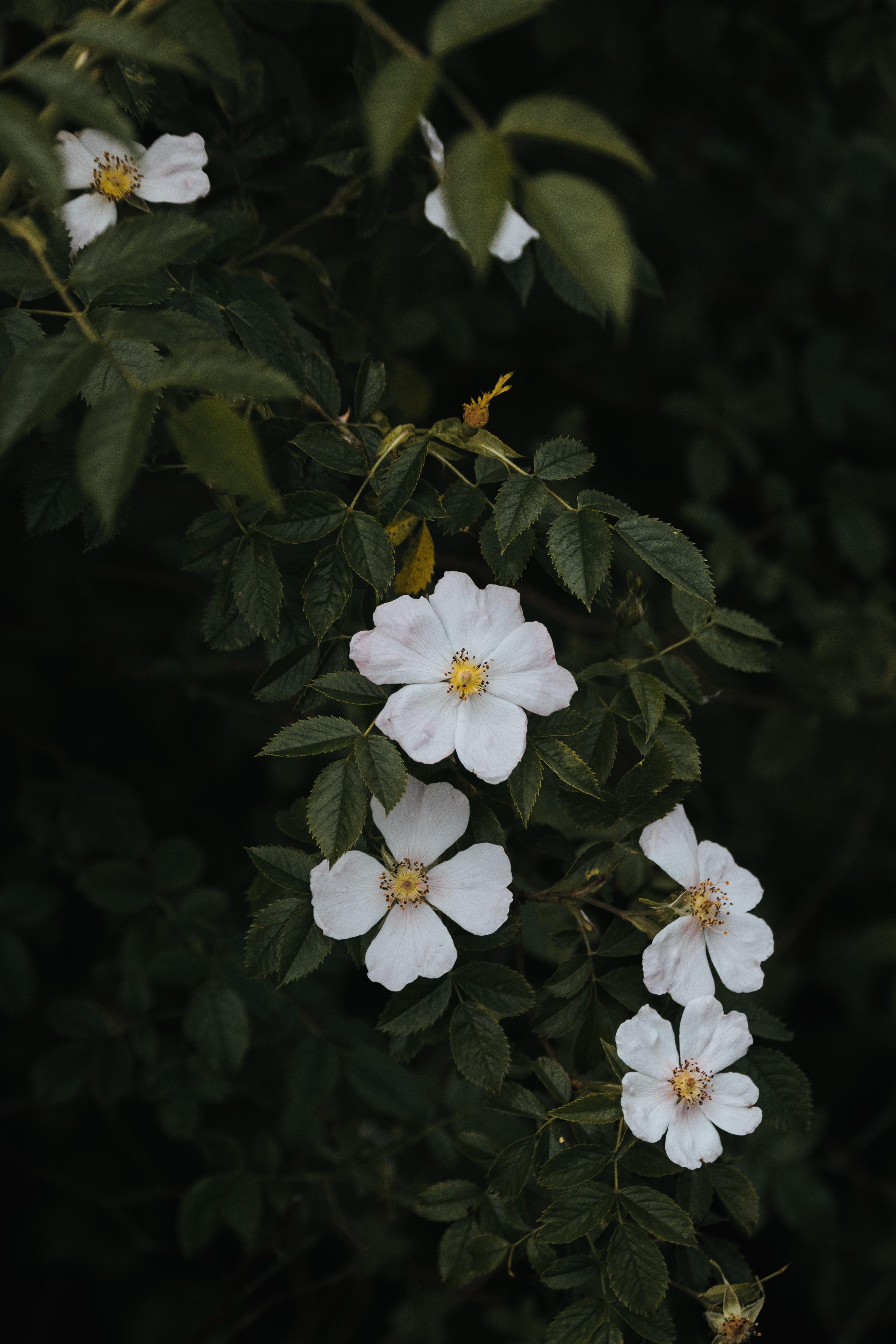 94382 скачать обои Цветы, Шиповник, Цветение, Куст - заставки и картинки бесплатно