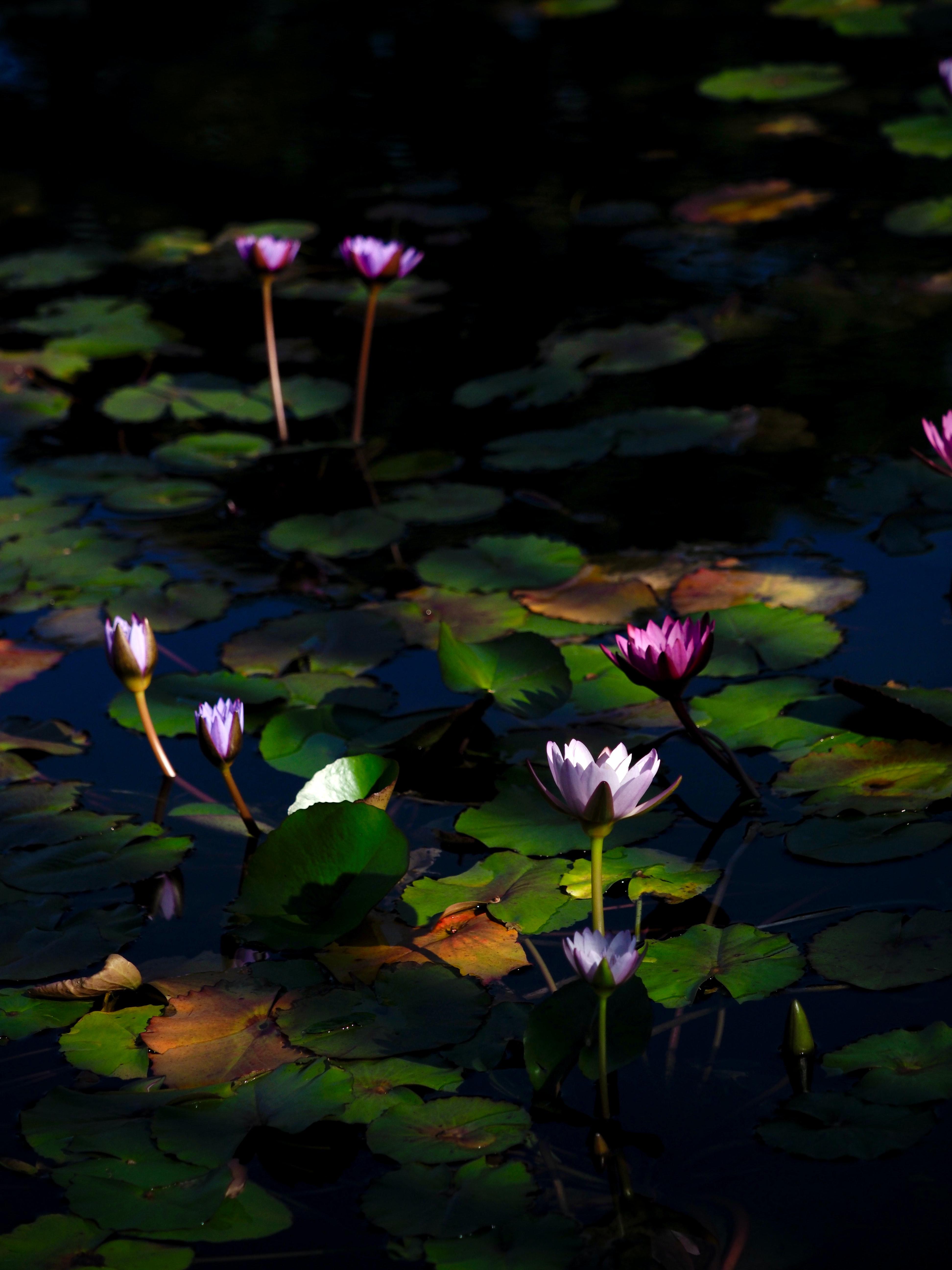 116421 скачать обои Цветы, Кувшинки, Растения, Вода - заставки и картинки бесплатно