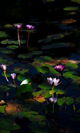 116421 descargar fondo de pantalla Flores, Nenúfares, Plantas, Agua: protectores de pantalla e imágenes gratis