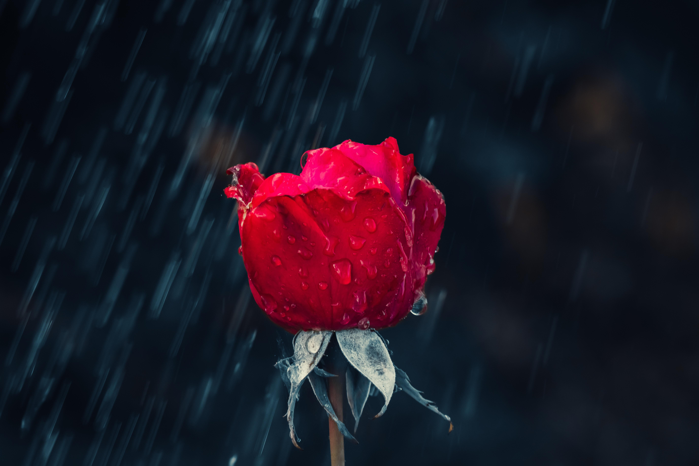 157656 завантажити шпалери Квіти, Роза, Троянда, Бутон, Брунька, Краплі, Дощ, Волога - заставки і картинки безкоштовно