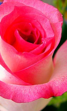 41544 descargar fondo de pantalla Plantas, Flores, Roses: protectores de pantalla e imágenes gratis