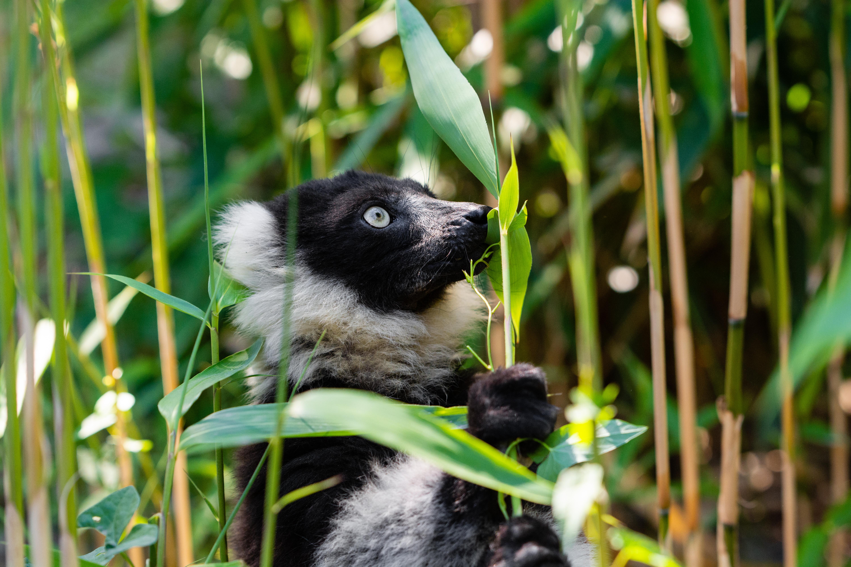 115701 download wallpaper Animals, Lemur Cook, Lemur Vari, Lemur, Wildlife screensavers and pictures for free