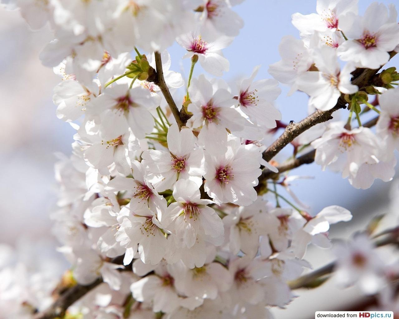 11597 скачать обои Растения, Цветы, Деревья - заставки и картинки бесплатно