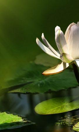 39884 descargar fondo de pantalla Plantas, Flores: protectores de pantalla e imágenes gratis