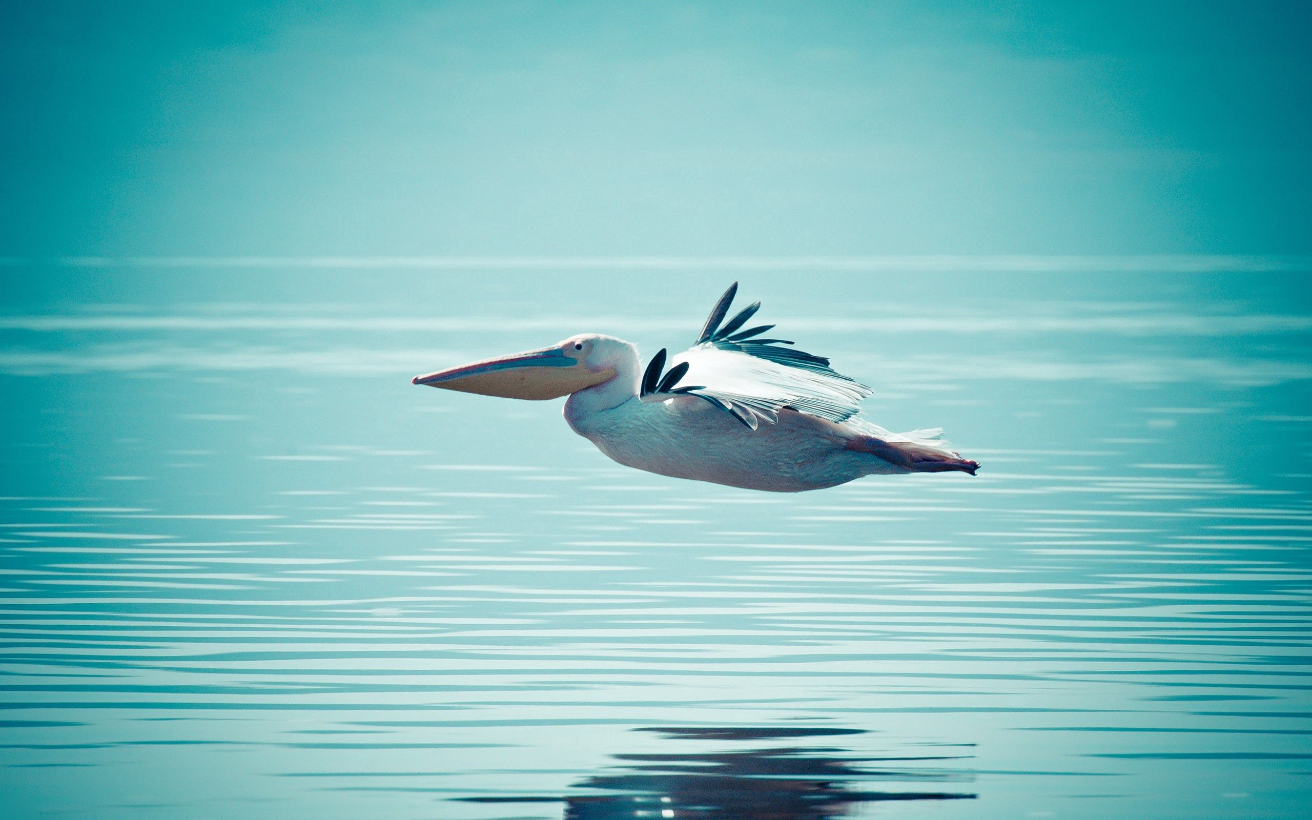 111674 download wallpaper Animals, Pelican, Water, Swimming, Flight screensavers and pictures for free
