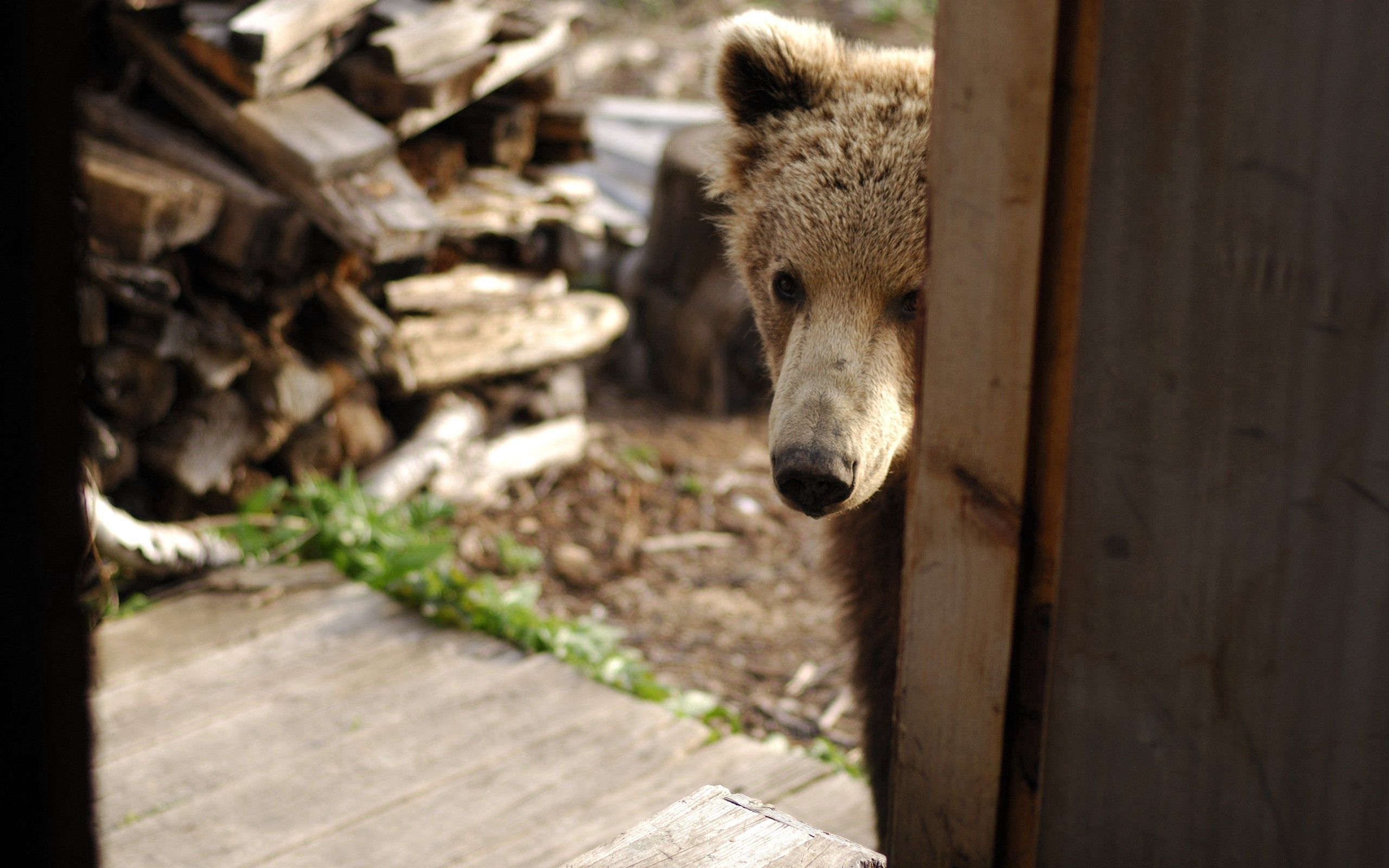 134661 download wallpaper Animals, Bear, Muzzle, Peek Out, Look Out, Door, Firewood, Curiosity screensavers and pictures for free