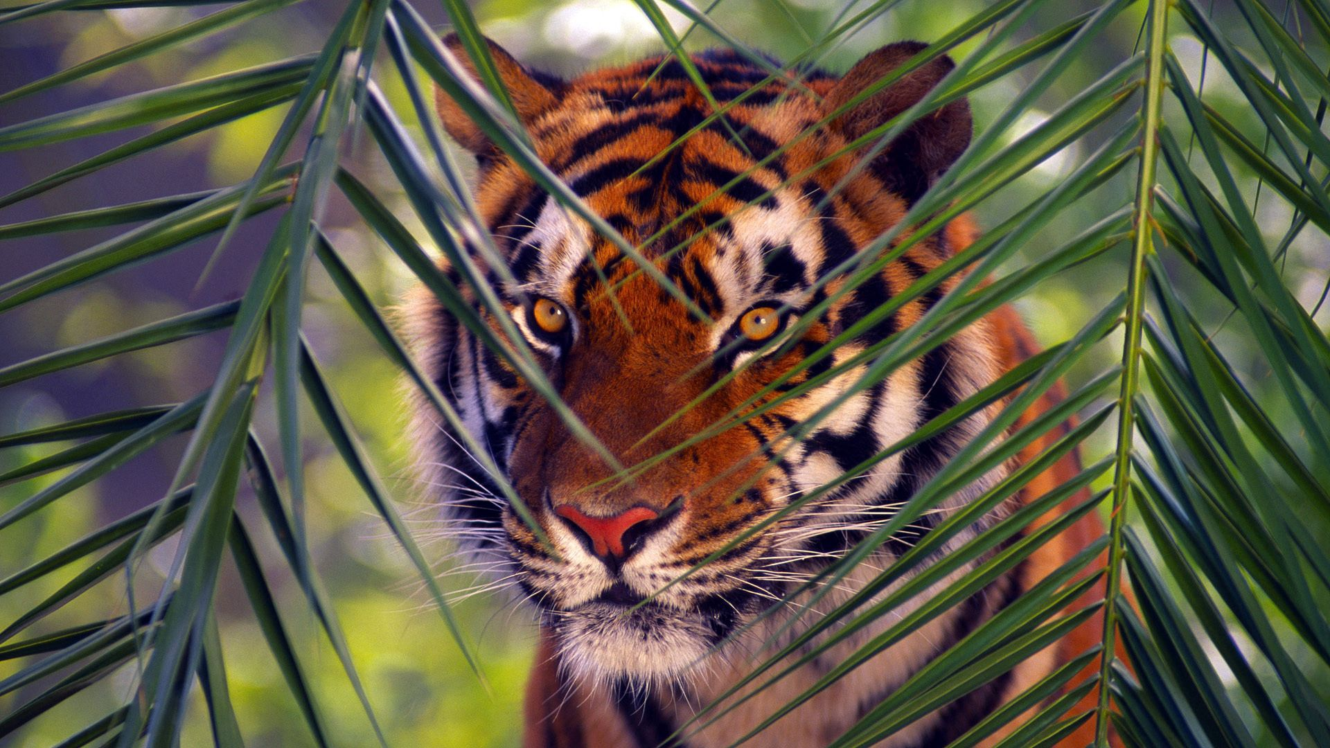 121246 download wallpaper Animals, Tiger, Branches, Branch, Leaves, Muzzle, Hunting, Hunt screensavers and pictures for free
