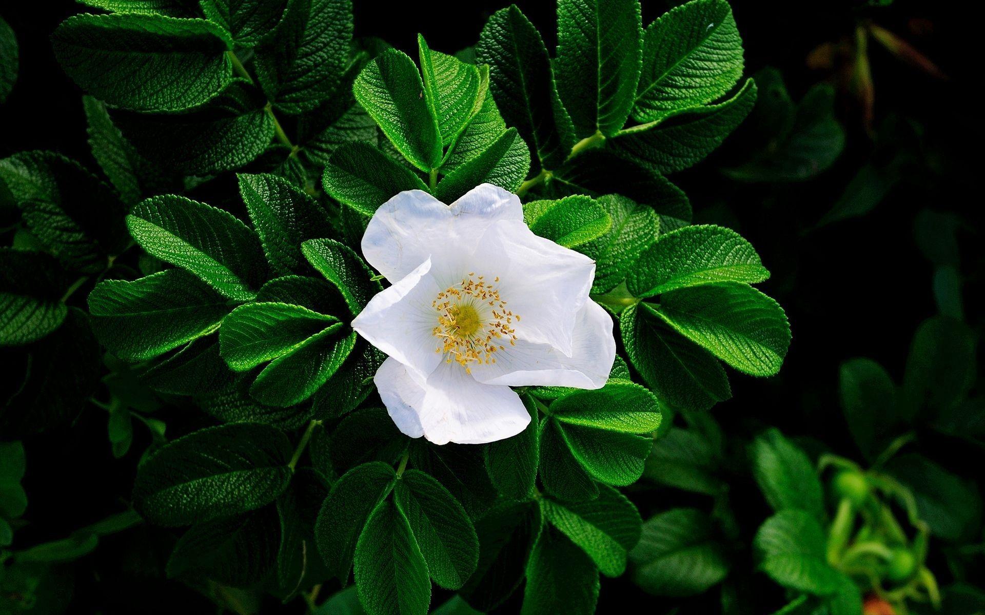 133669 скачать обои Цветы, Листья, Шиповник, Цветение, Зелень, Белый - заставки и картинки бесплатно