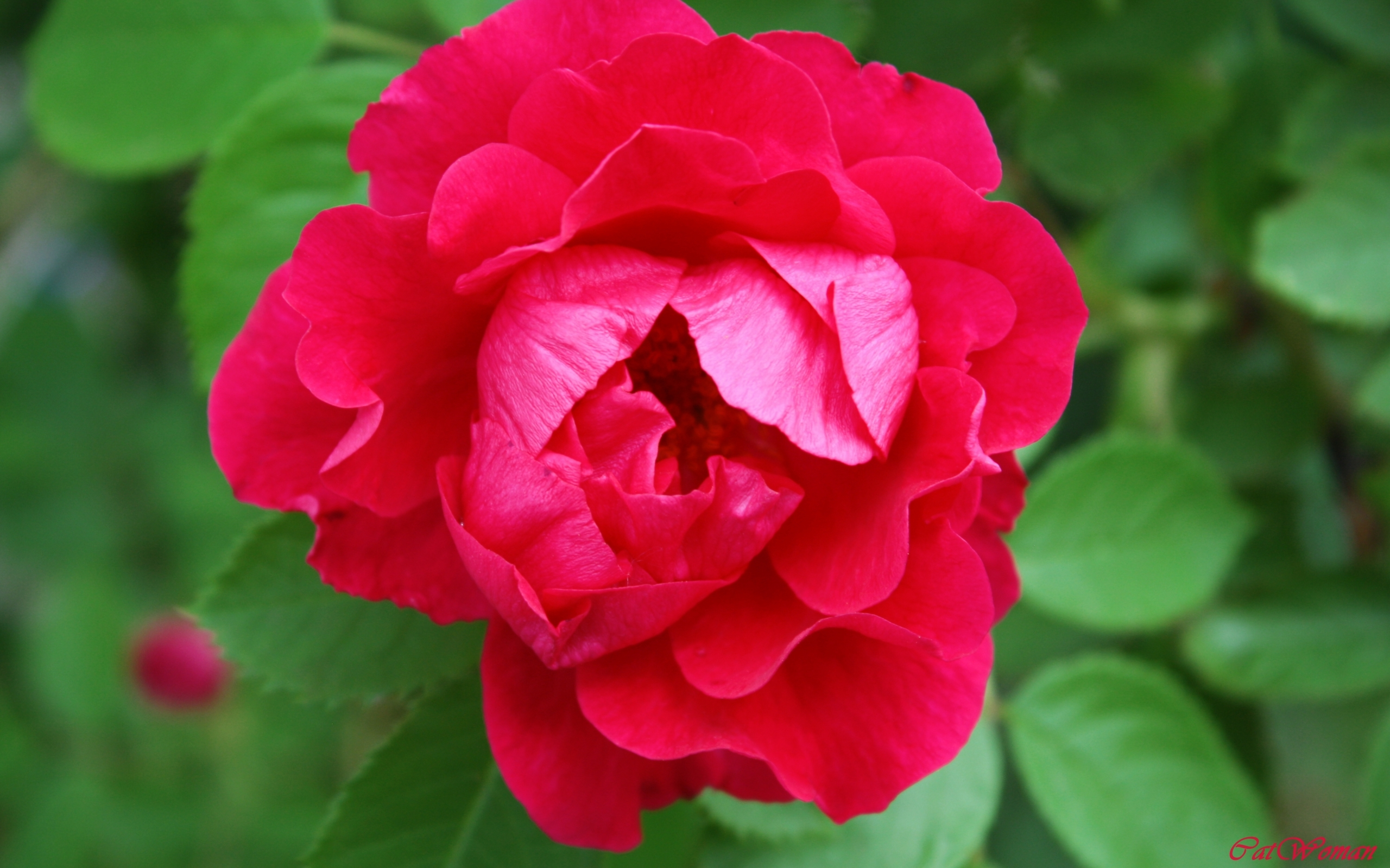 6310 скачать обои Растения, Цветы, Розы - заставки и картинки бесплатно
