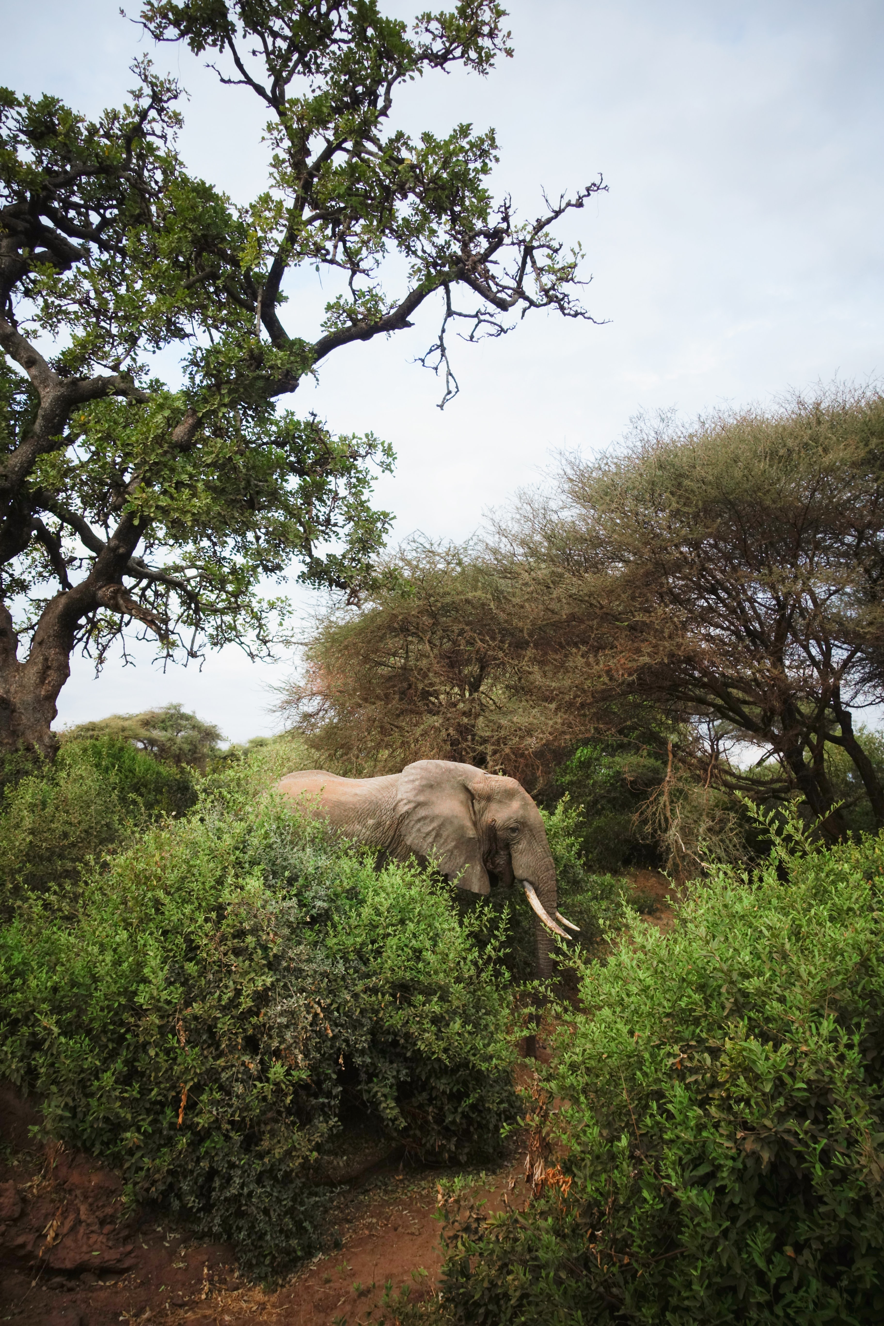 127973 download wallpaper Animals, Elephant, Animal, Trees, Wildlife, Bush screensavers and pictures for free