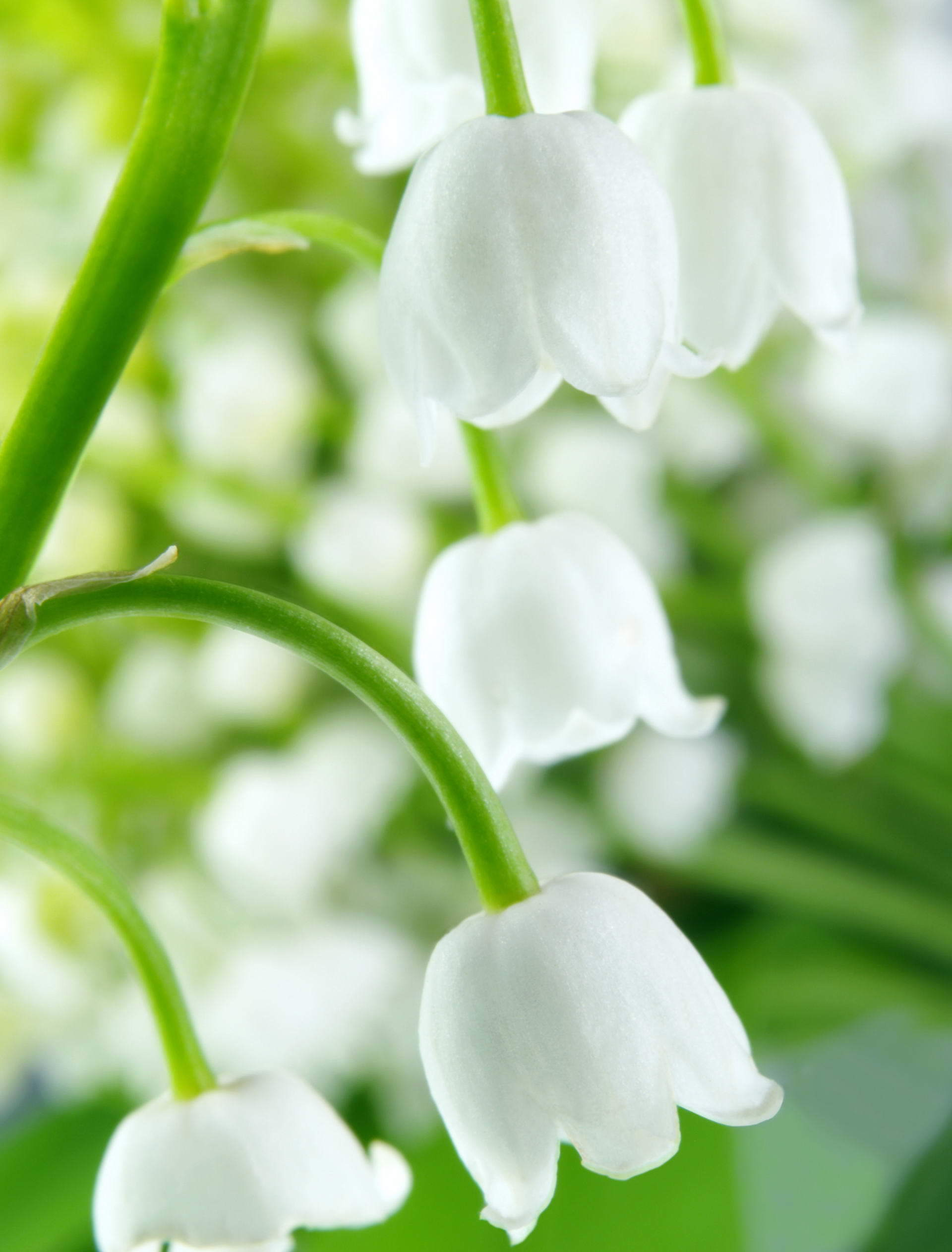 10117 descargar fondo de pantalla Plantas, Flores, Campanillas: protectores de pantalla e imágenes gratis
