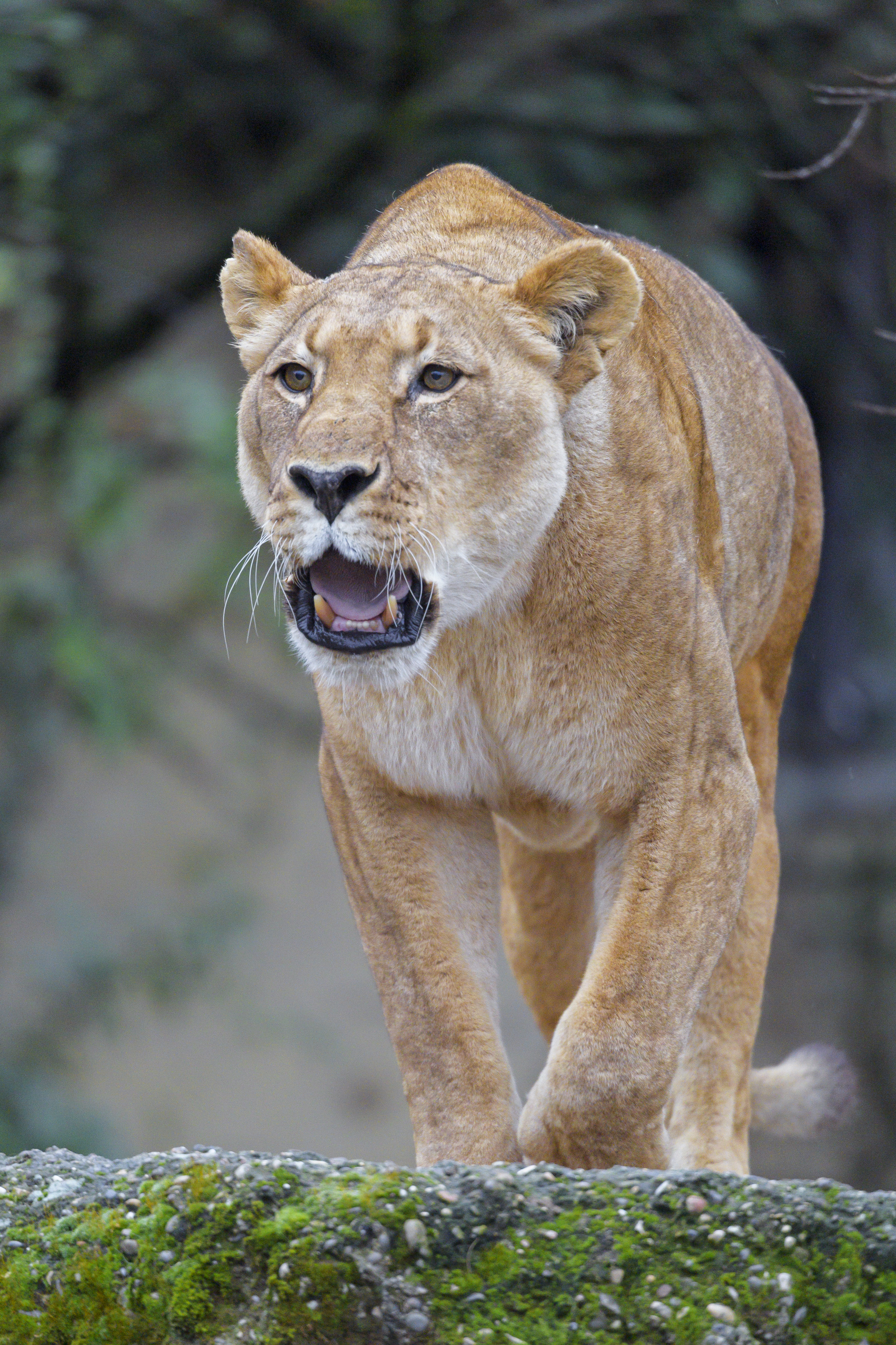 53945 download wallpaper Animals, Lion, Lioness, Predator, Roar, Big Cat screensavers and pictures for free