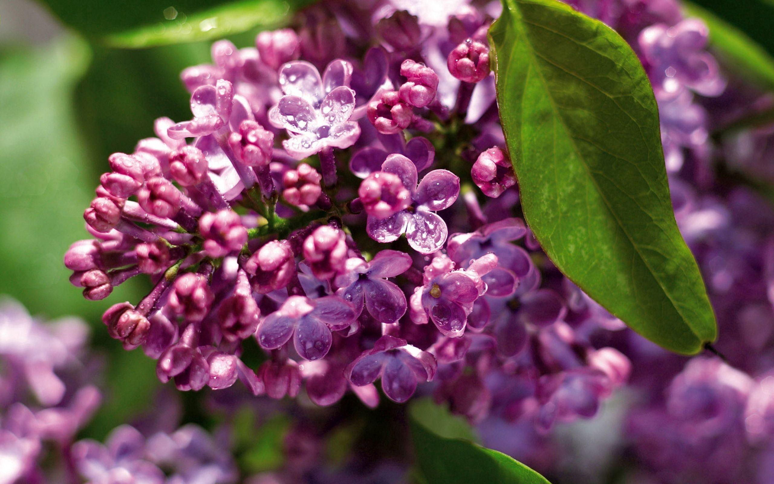 65064 Hintergrundbild herunterladen Blumen, Lilac, Pflanze, Makro, Ast, Zweig - Bildschirmschoner und Bilder kostenlos