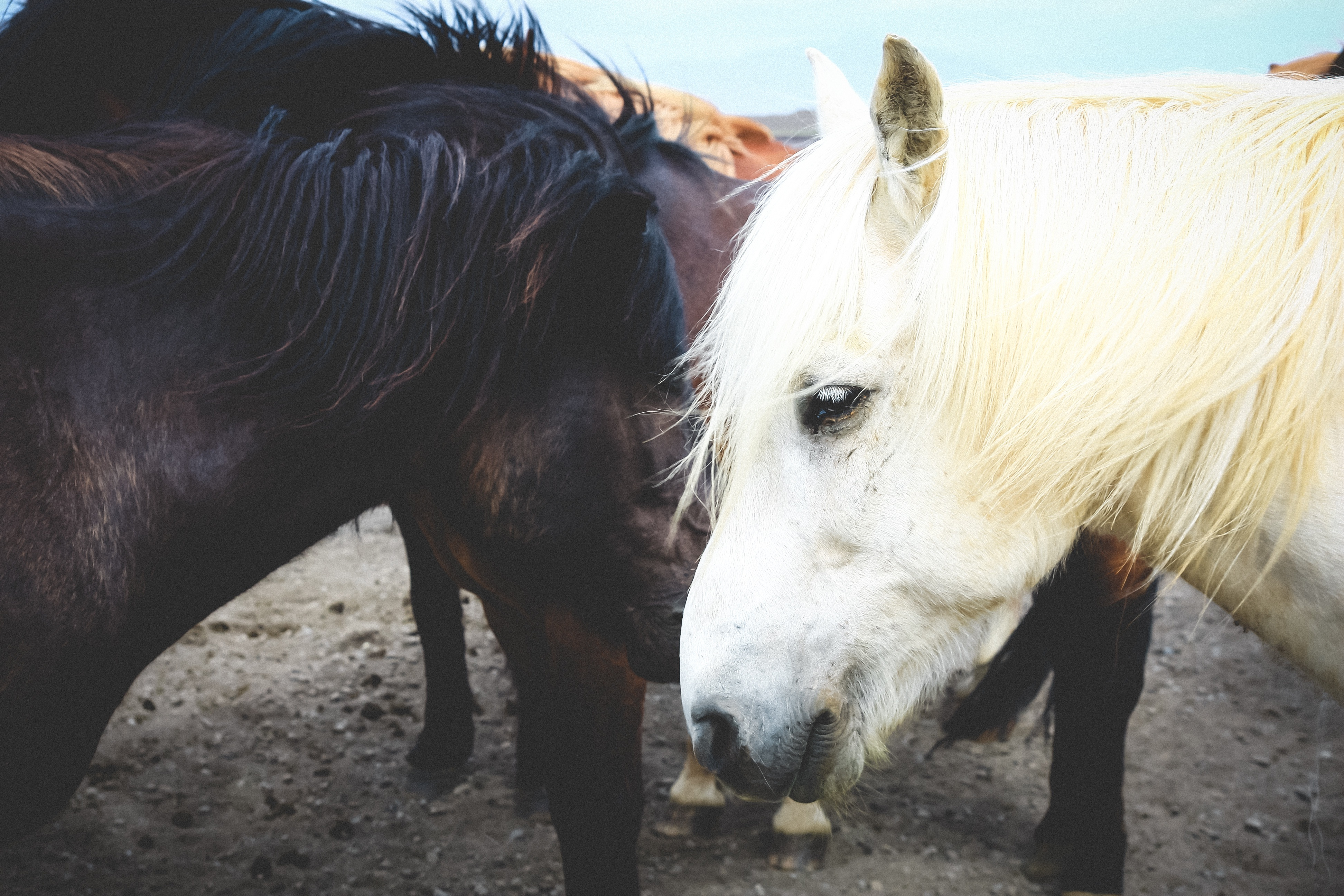 85889 download wallpaper Animals, Horses, Couple, Pair, Mane screensavers and pictures for free