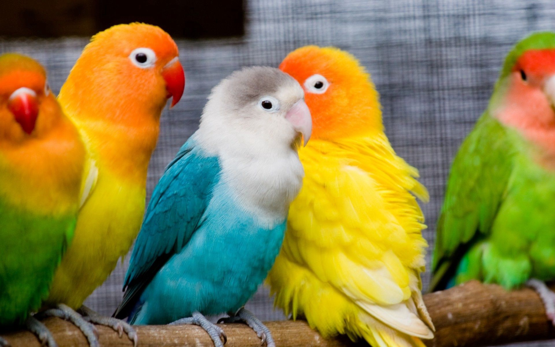 68260 download wallpaper Birds, Animals, Parrots, Sit, Multicolored, Branch screensavers and pictures for free