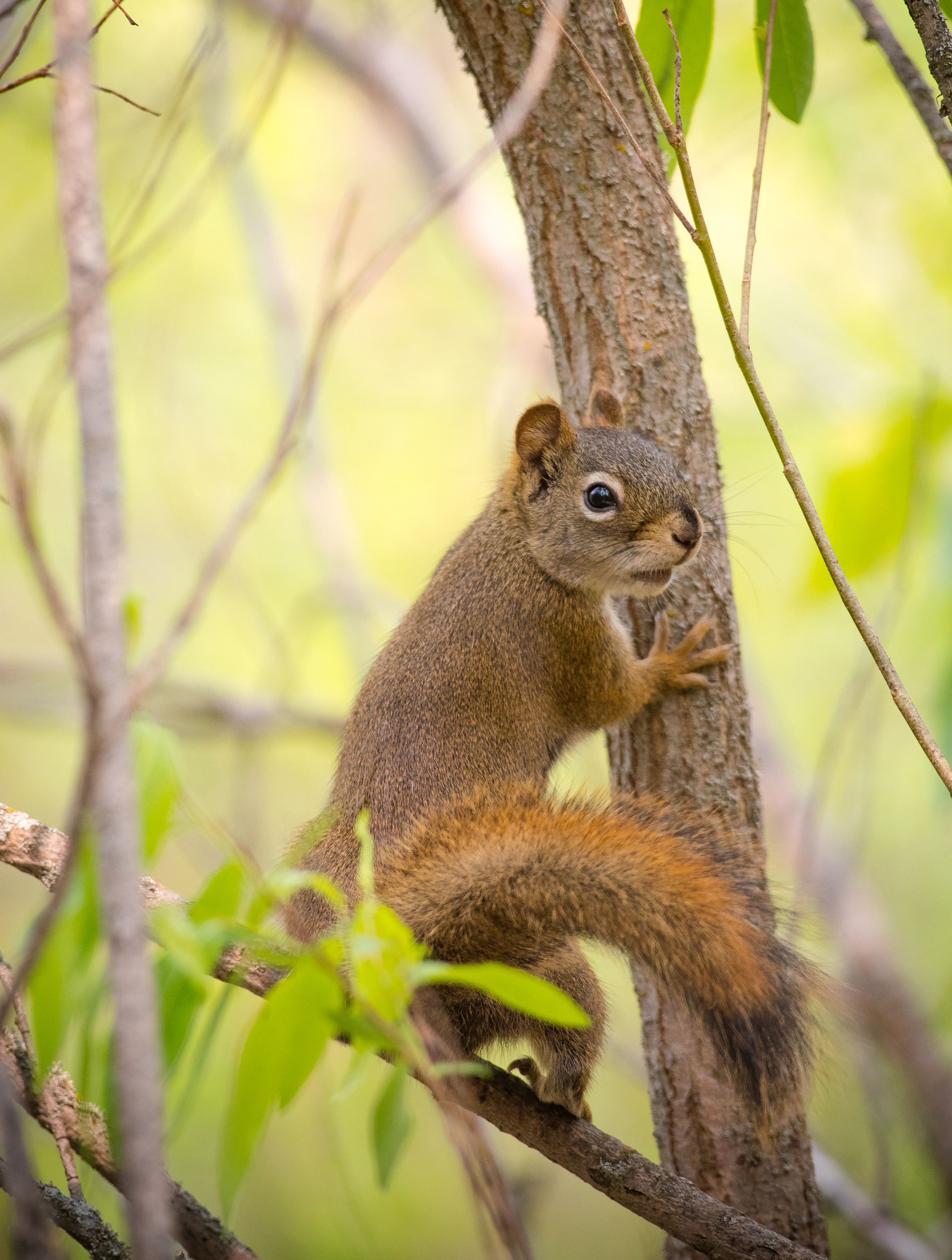 97528 download wallpaper Animals, Squirrel, Rodent, Nice, Sweetheart, Tail screensavers and pictures for free