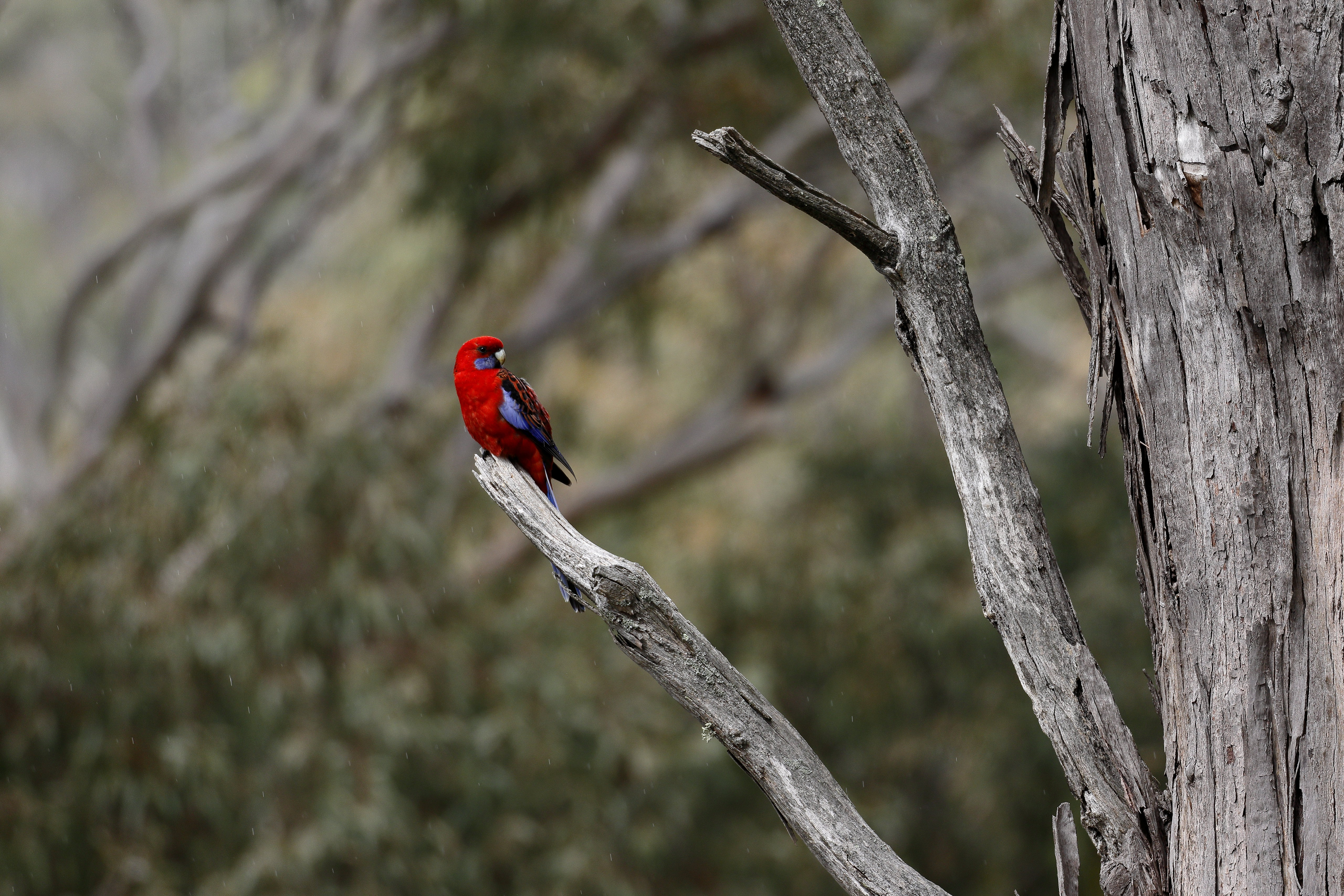 122044 Screensavers and Wallpapers Parrots for phone. Download Parrots, Animals, Bright, Bird, Raspberry Rosella, Rosella pictures for free