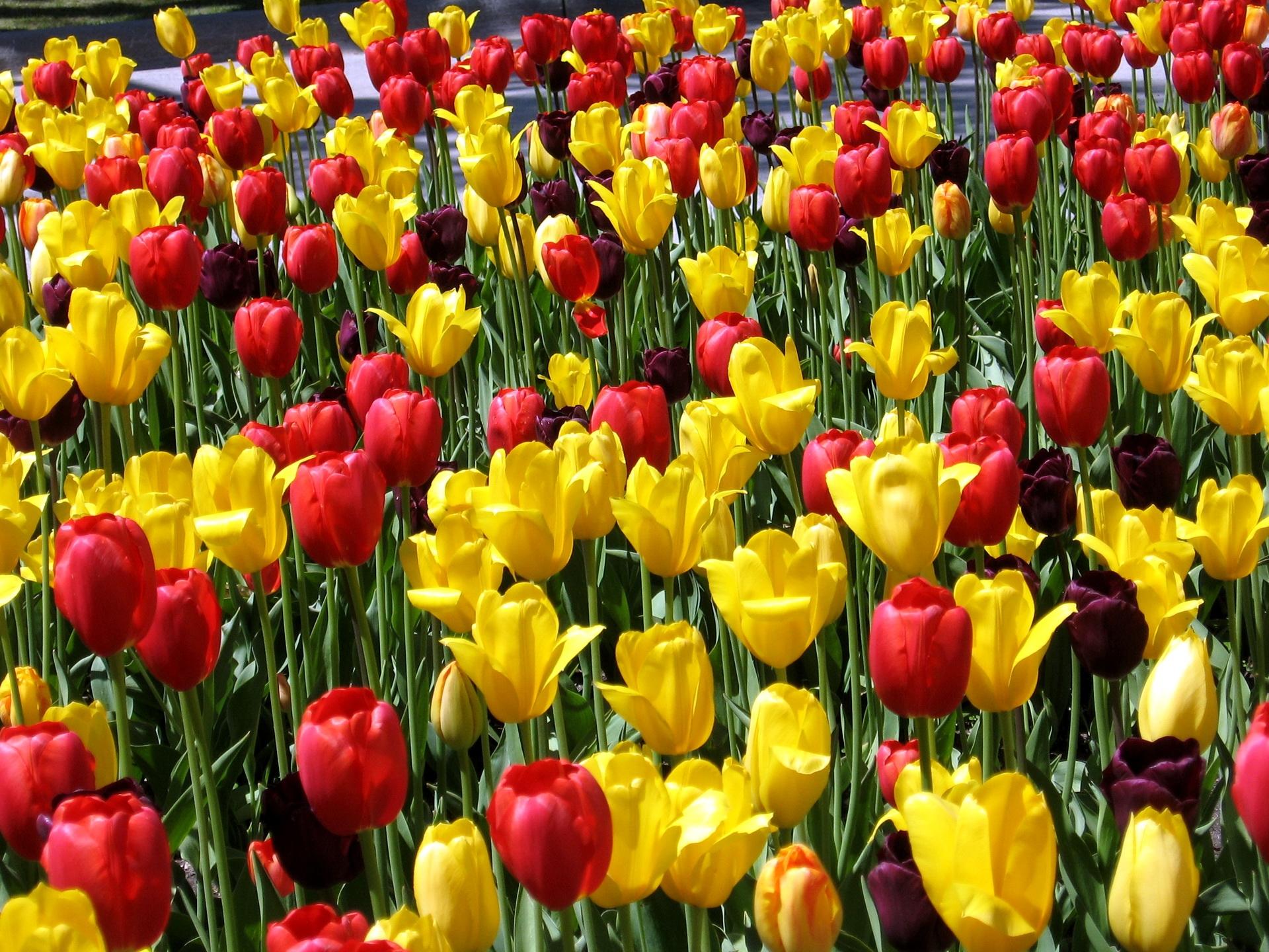 112914 скачать обои Цветы, Разные, Солнечно, Весна, Настроение, Тюльпаны - заставки и картинки бесплатно