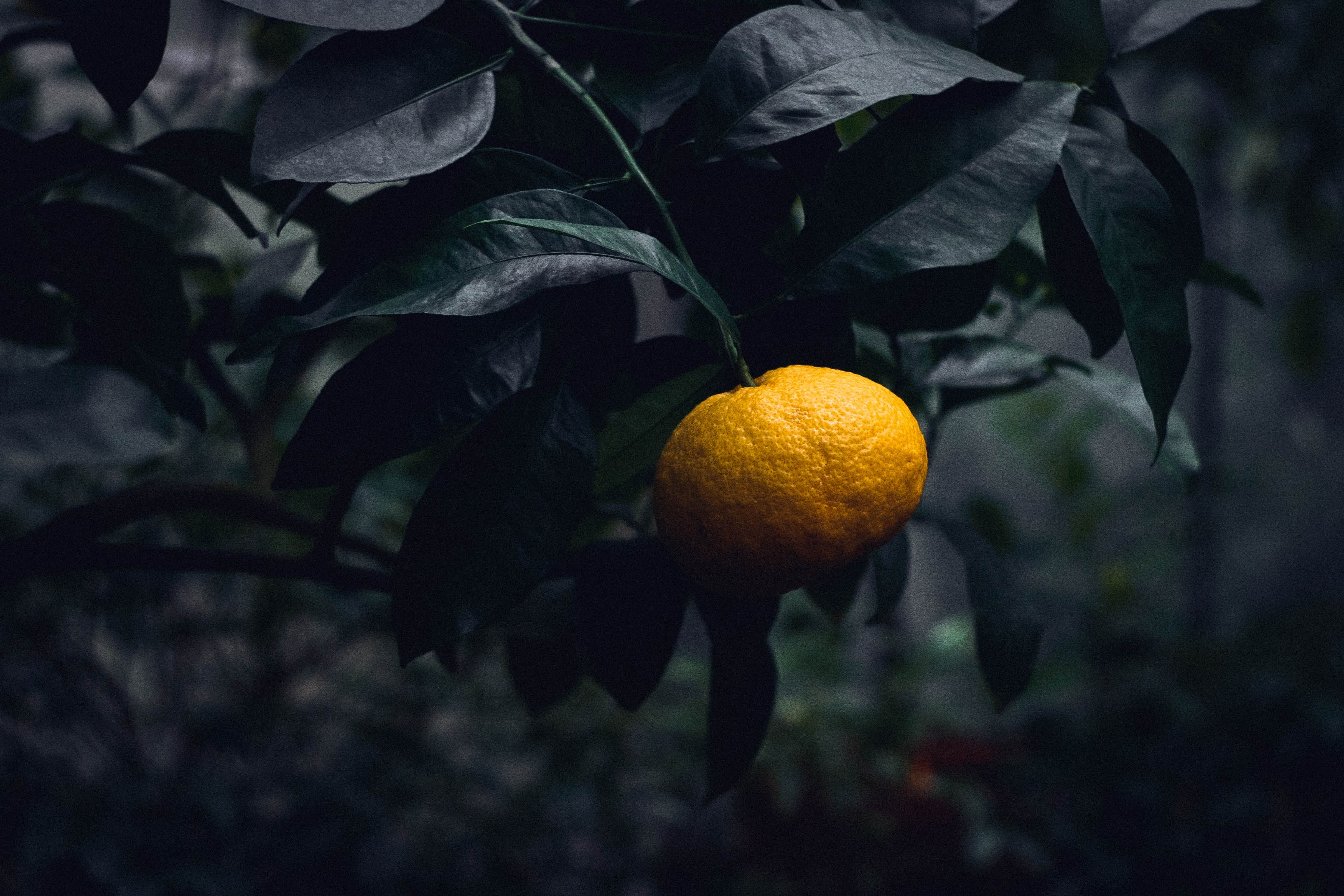 144263 Salvapantallas y fondos de pantalla Comida en tu teléfono. Descarga imágenes de Comida, Mandarín, Mandarina, Agrios, Citrus, Rama, Feto, Fruta gratis