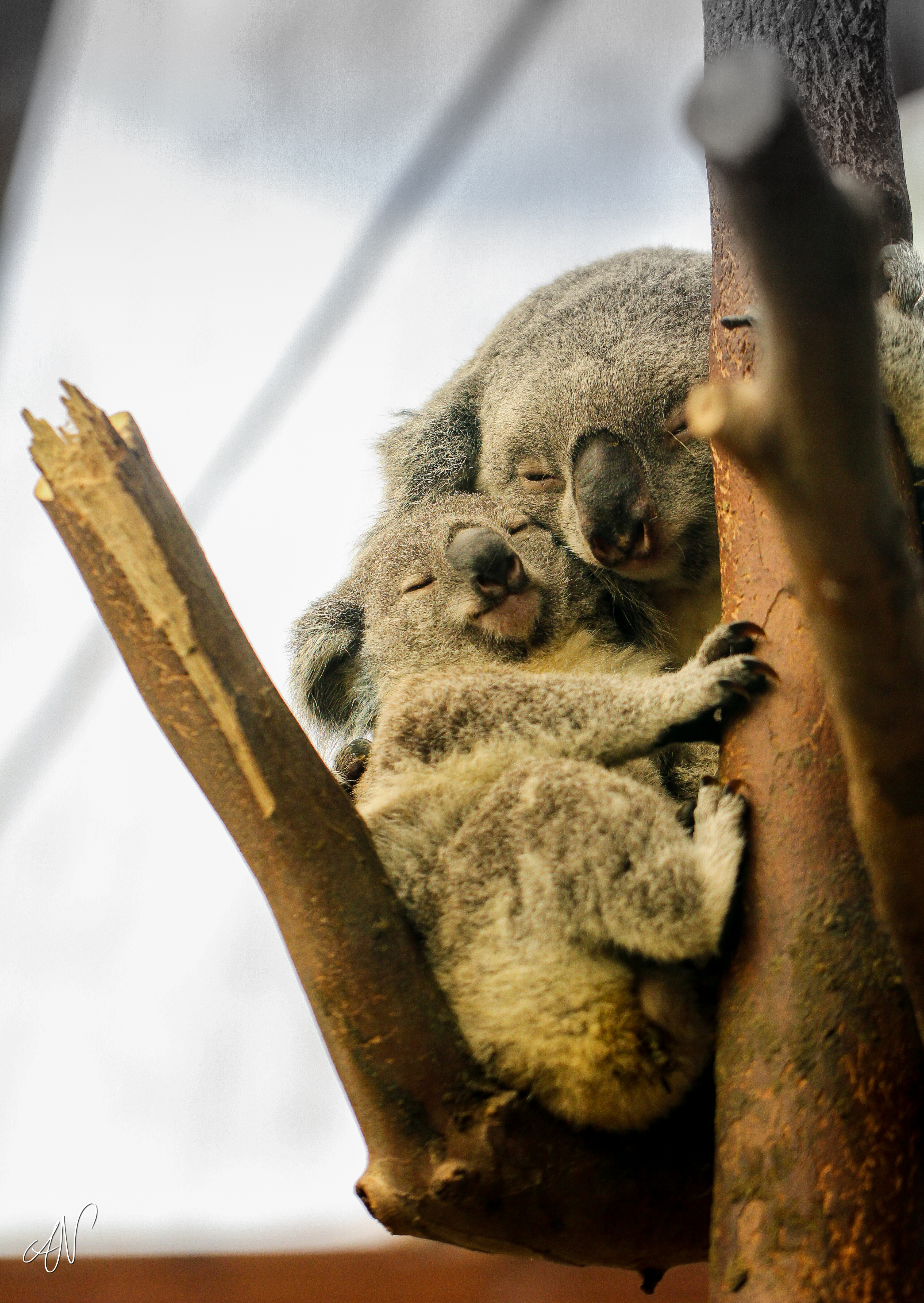145682 download wallpaper Animals, Koalas, Wood, Tree, Wildlife, Sleep, Dream screensavers and pictures for free