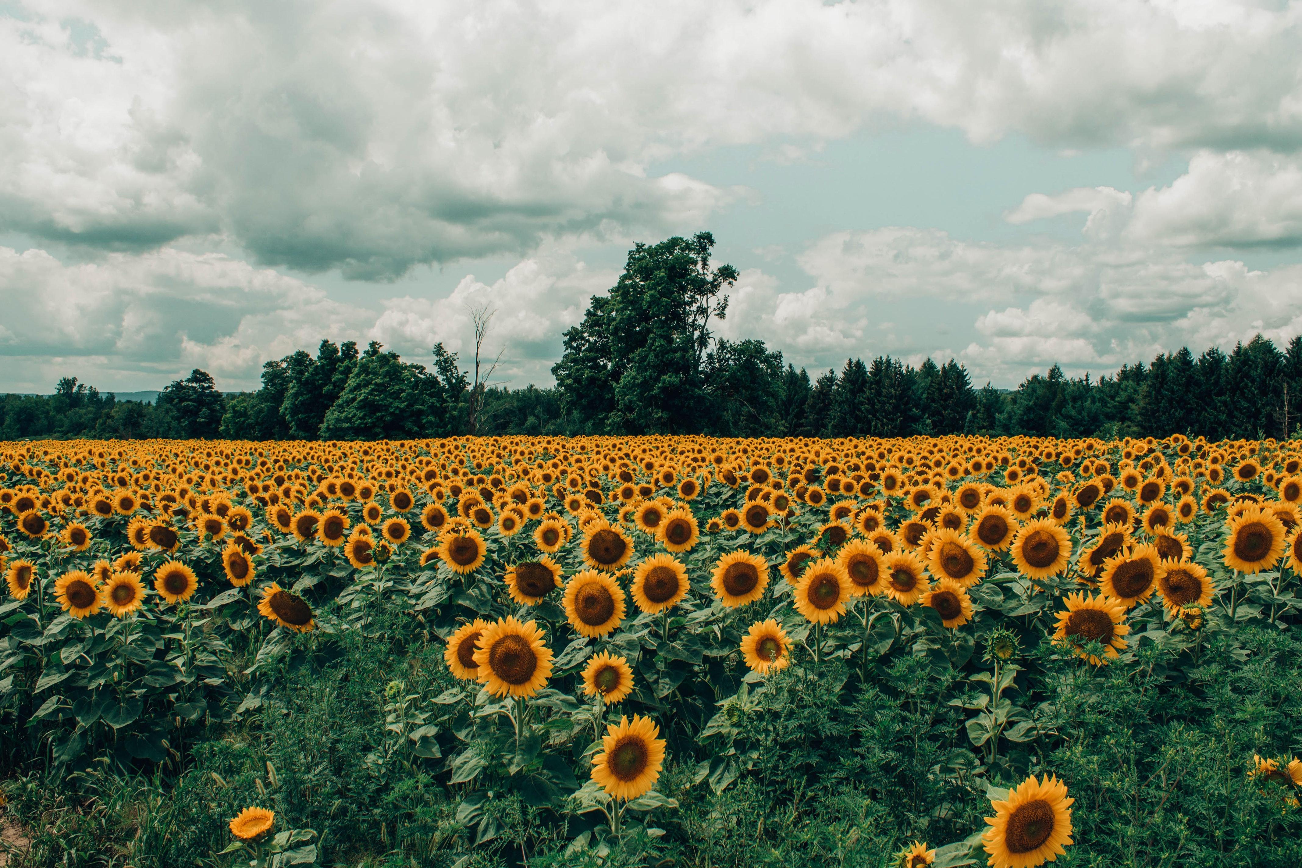 94365 Заставки и Обои Подсолнухи на телефон. Скачать Природа, Поле, Цветение, Лето, Облака, Цветы, Подсолнухи картинки бесплатно