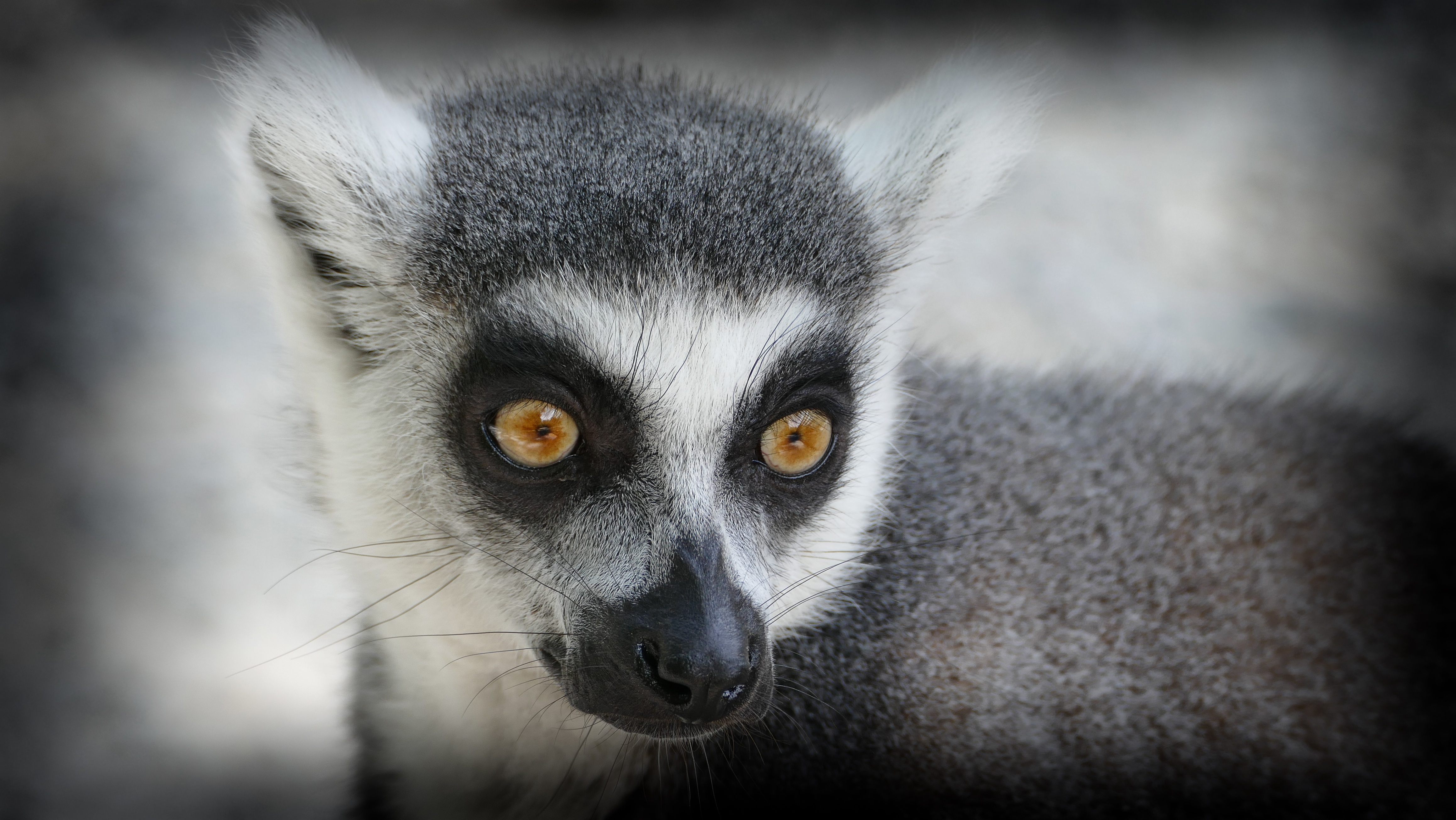 73593 download wallpaper Animals, Lemur, Muzzle, Sight, Opinion screensavers and pictures for free
