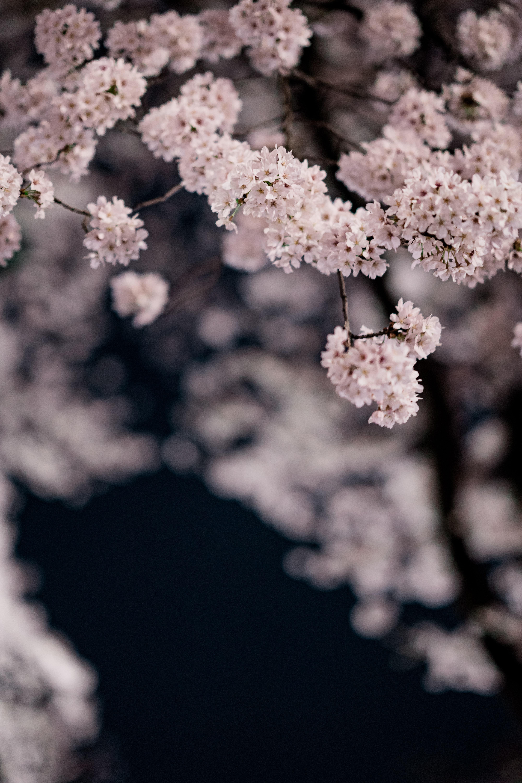 82755 fondo de pantalla 1920x1080 en tu teléfono gratis, descarga imágenes Flores, Cereza, Pétalos, Sucursales, Ramas, Primavera, Macro 1920x1080 en tu móvil