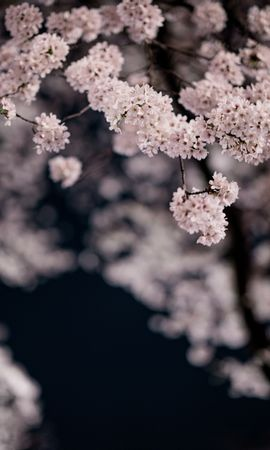 Скачать бесплатно картинку 82755: Цветы, Вишня, Лепестки, Ветки, Весна, Макро обои на телефон