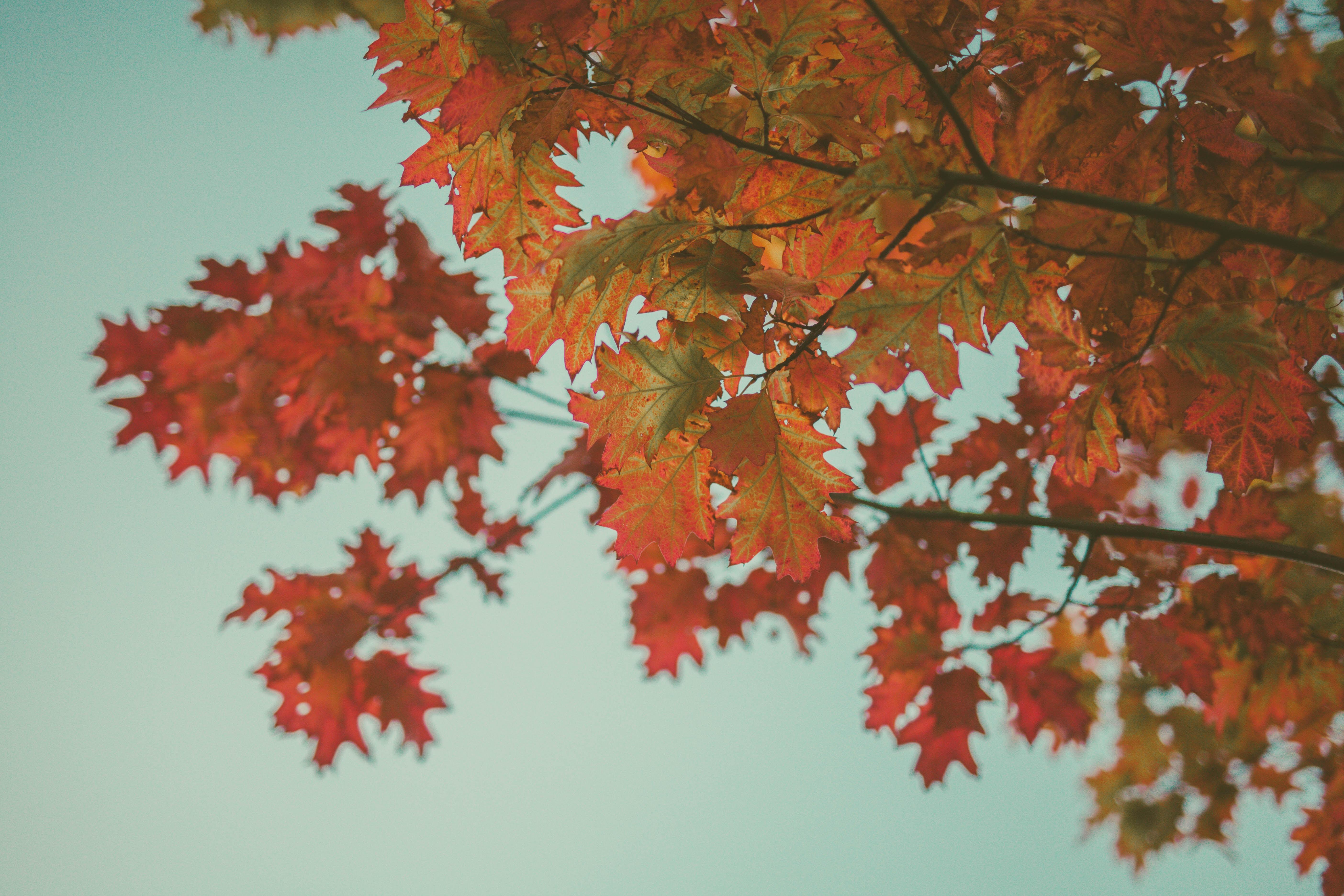 113827 скачать обои Природа, Клен, Листья, Осень, Красный, Ветки - заставки и картинки бесплатно