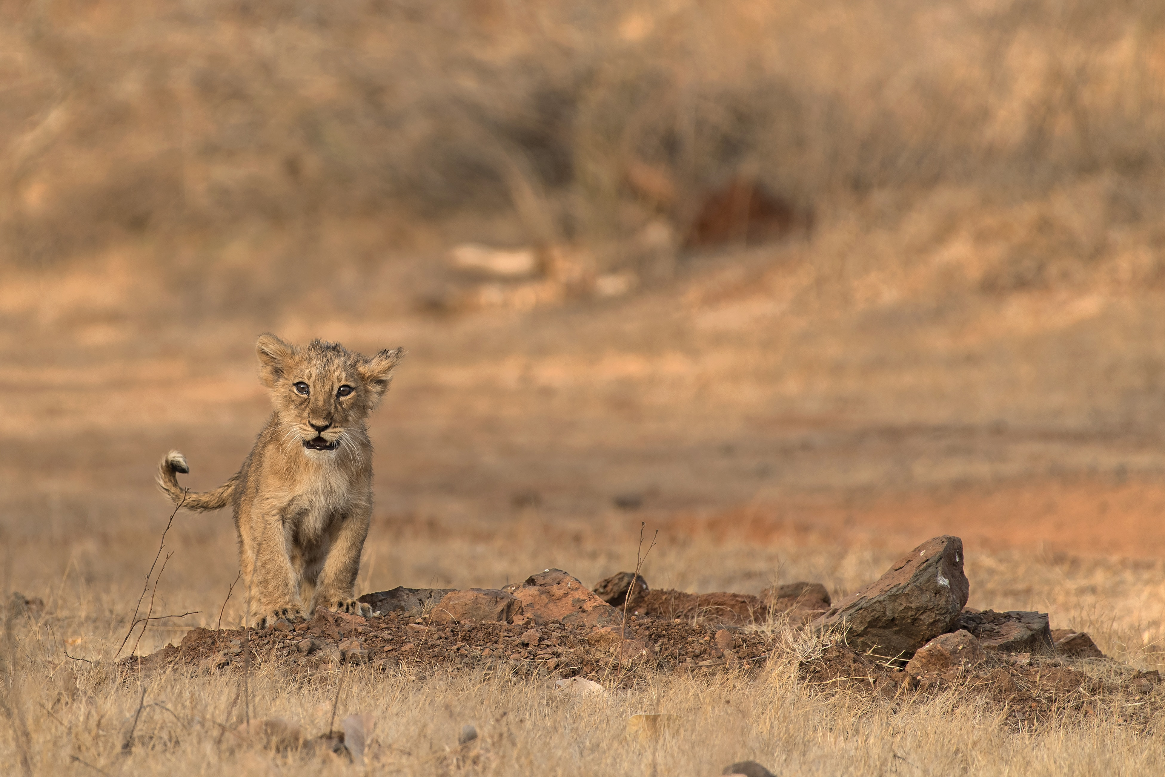 156232 download wallpaper Animals, Lion, Lion Cub, Young, Joey, Wildlife, Savanna screensavers and pictures for free