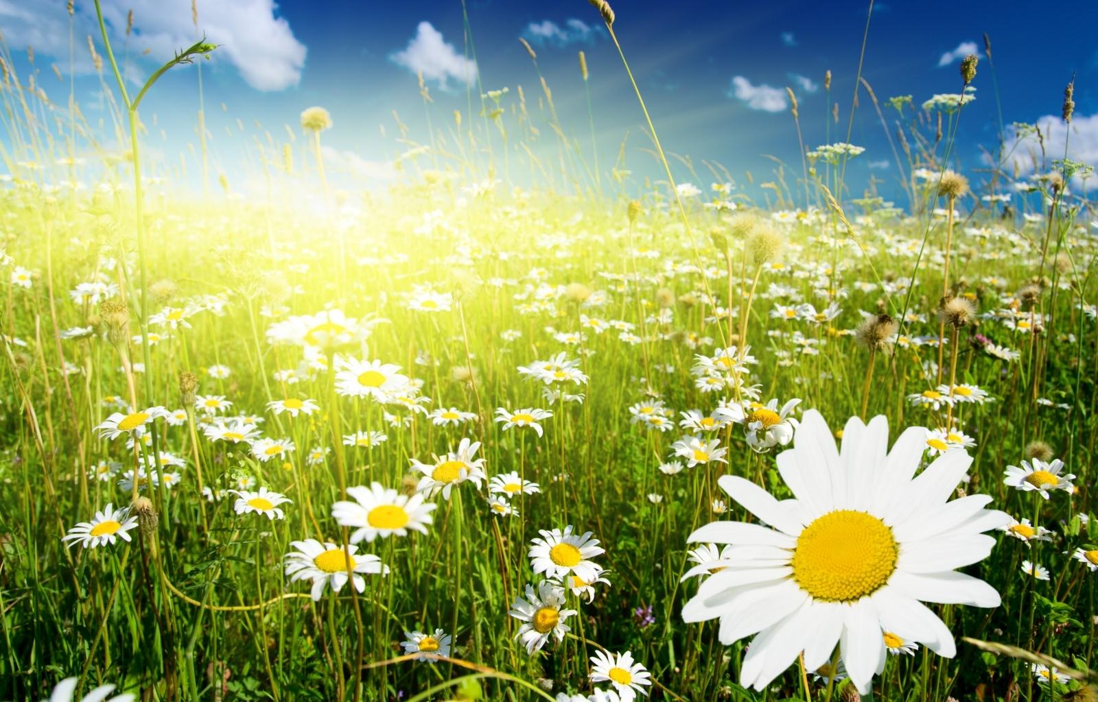 9959 descargar fondo de pantalla Plantas, Flores, Camomila: protectores de pantalla e imágenes gratis