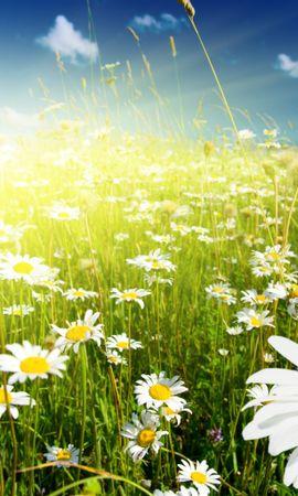 9959 скачать обои Растения, Цветы, Ромашки - заставки и картинки бесплатно