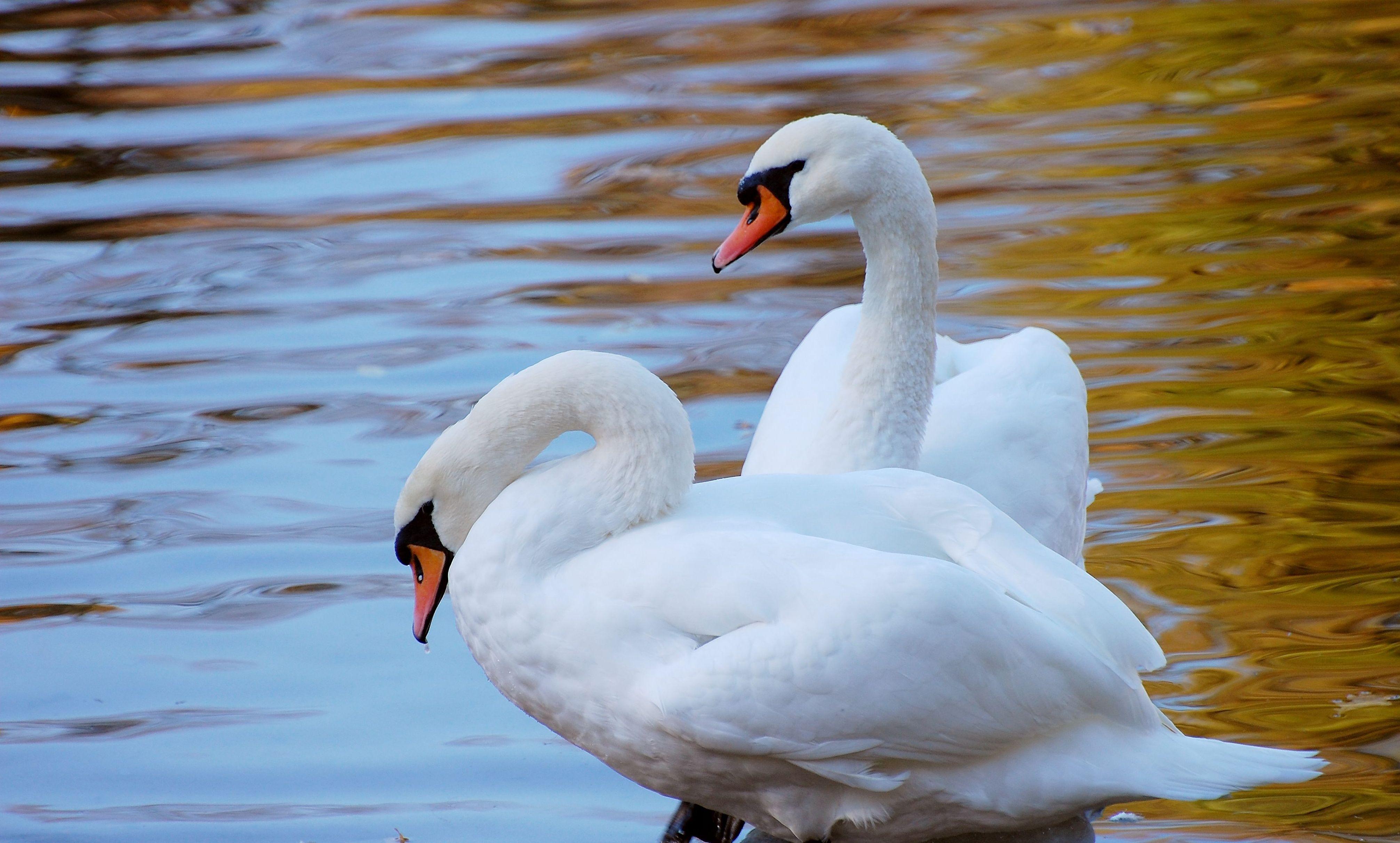 137438 Hintergrundbild herunterladen Tiere, Wasser, Swans, Ufer, Bank, Paar - Bildschirmschoner und Bilder kostenlos