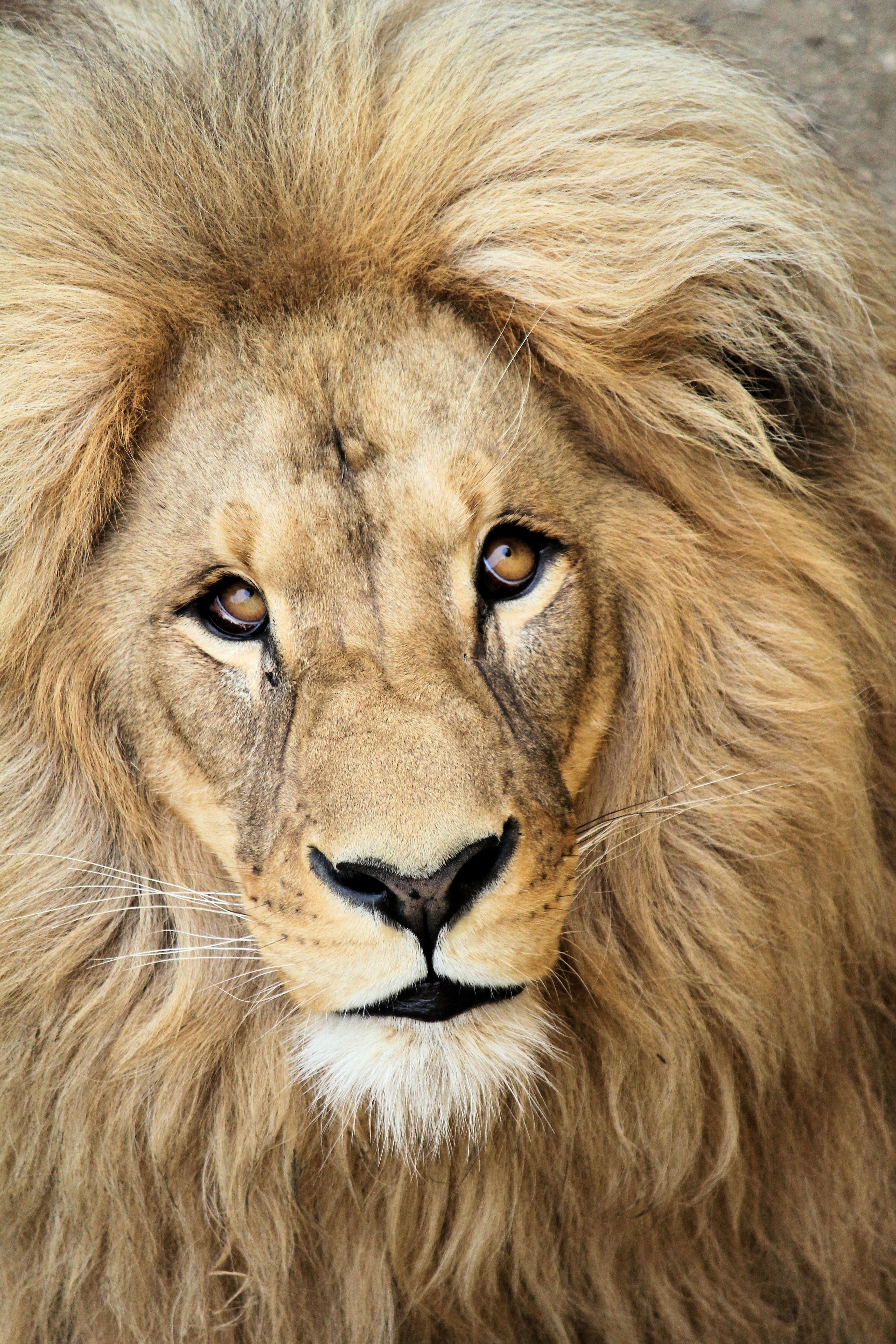 92794 Protetores de tela e papéis de parede Rei Das Feras em seu telefone. Baixe Animais, Leão, Focinho, Um Leão, Predator, Predador, Juba, Rei Das Feras, Rei Das Bestas, Rei fotos gratuitamente