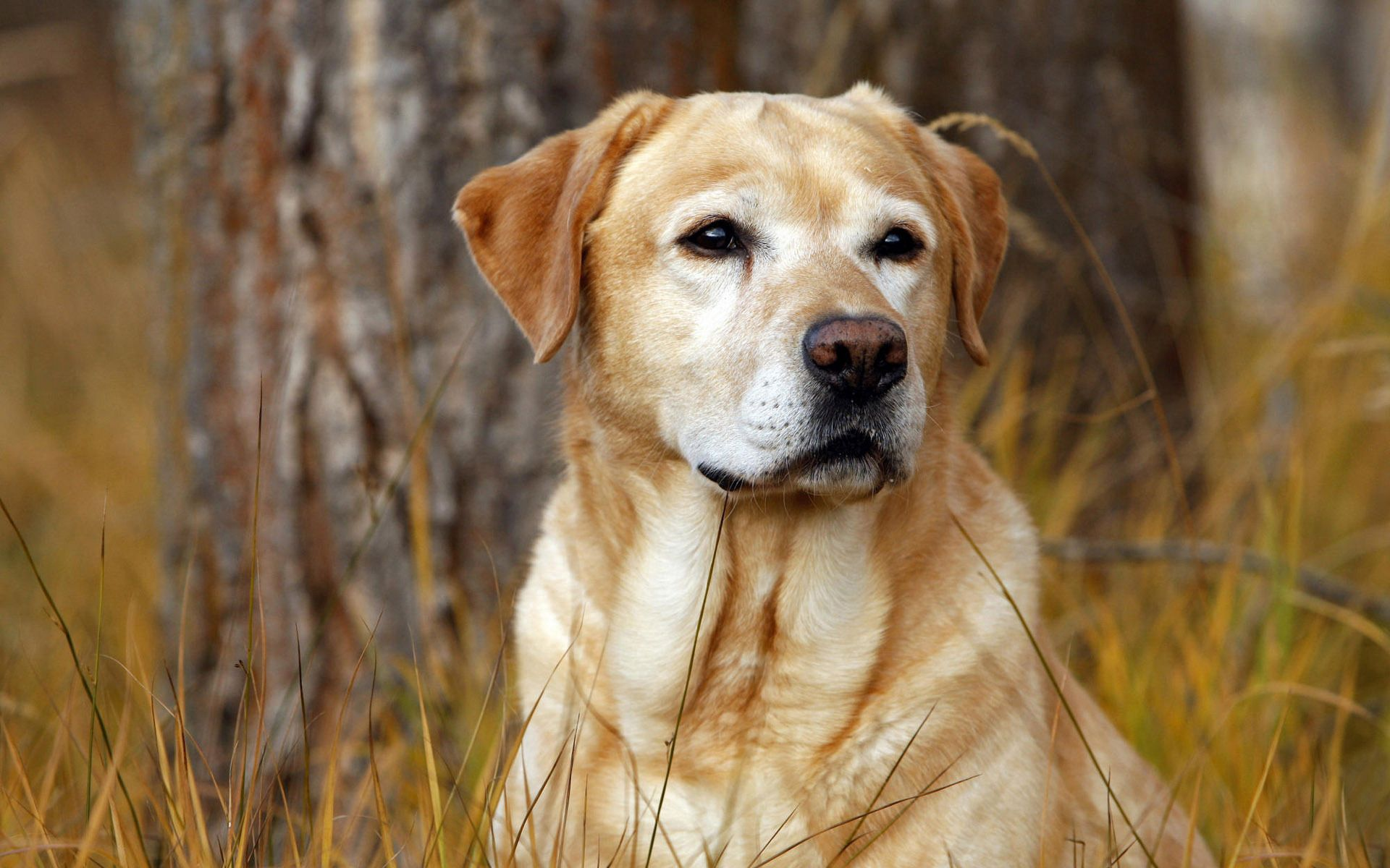 96638 download wallpaper Animals, Labrador, Dog, Nose, Grass screensavers and pictures for free