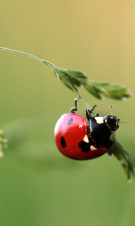お使いの携帯電話の68383スクリーンセーバーと壁紙昆虫。 大きい, マクロ, てんとう虫, 天道虫, 昆虫, 草の写真を無料でダウンロード