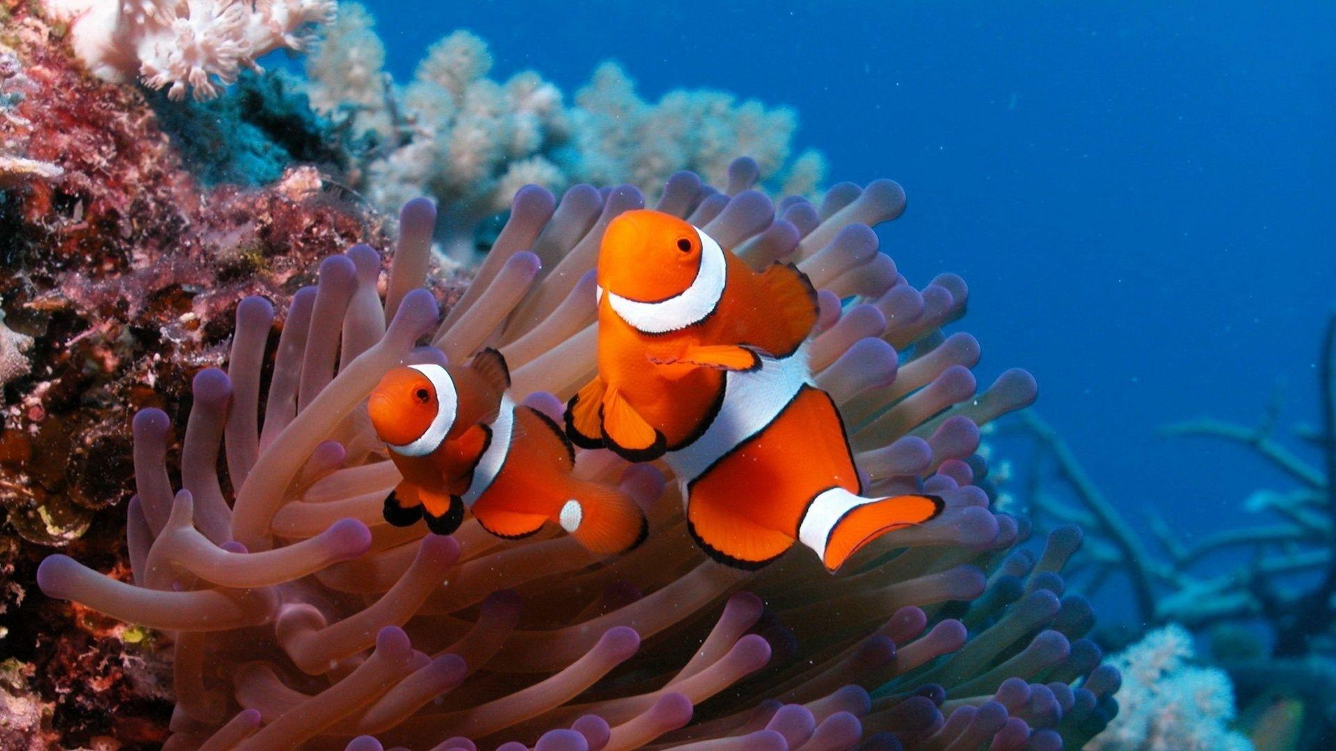 152941 免費下載壁紙 动物, 海, 礁, 礁石, 珊瑚, 小鱼, 鱼, 海葵, 阿克提尼亚, 小丑 屏保和圖片
