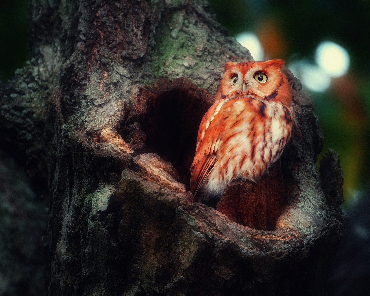 35042 download wallpaper Animals, Birds, Owl screensavers and pictures for free