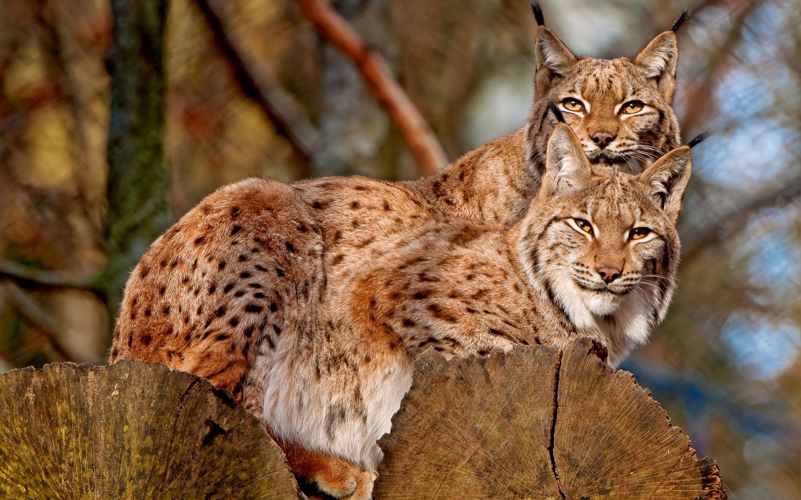 141913 download wallpaper Animals, Couple, Pair, Sit, Family, Bobcats screensavers and pictures for free