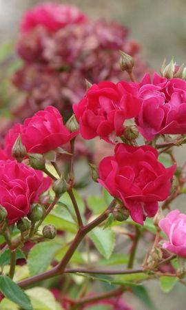 8699 скачать обои Растения, Цветы, Розы - заставки и картинки бесплатно
