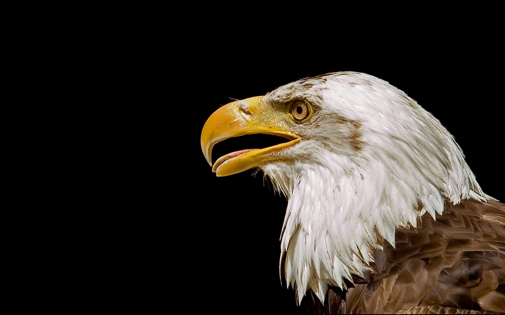 2332 download wallpaper Animals, Birds, Eagles screensavers and pictures for free