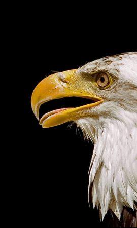 2332 baixar papel de parede Animais, Aves, Eagles - protetores de tela e imagens gratuitamente